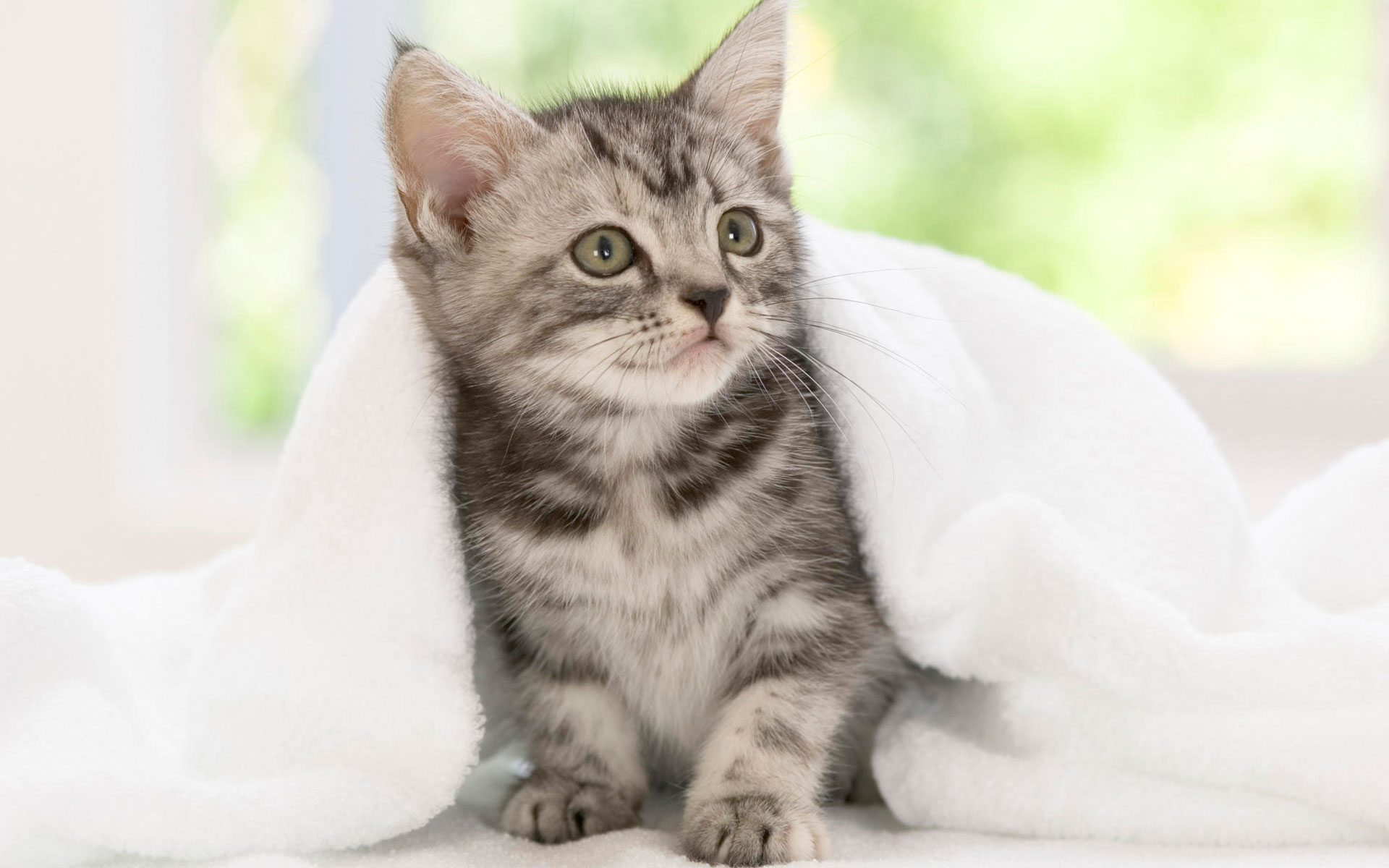 Domestic Shorthair Cat Characteristics & 7 Things You Didn't Know ...