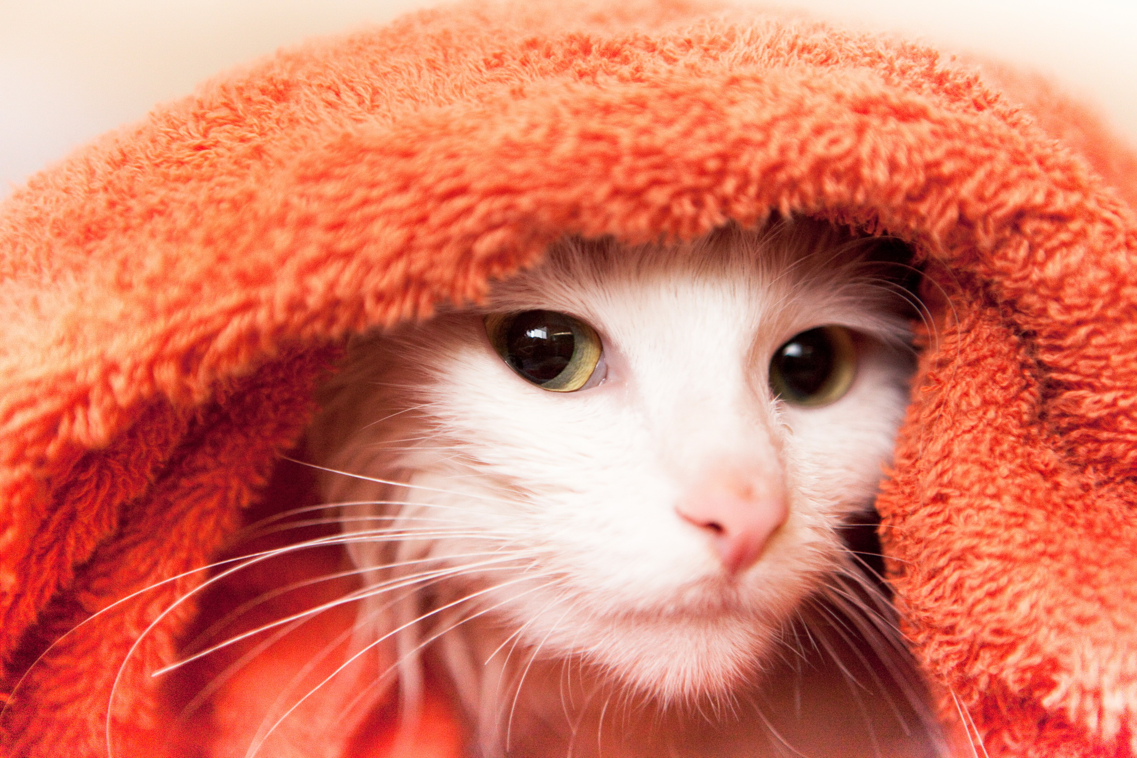 Cat in towel photo