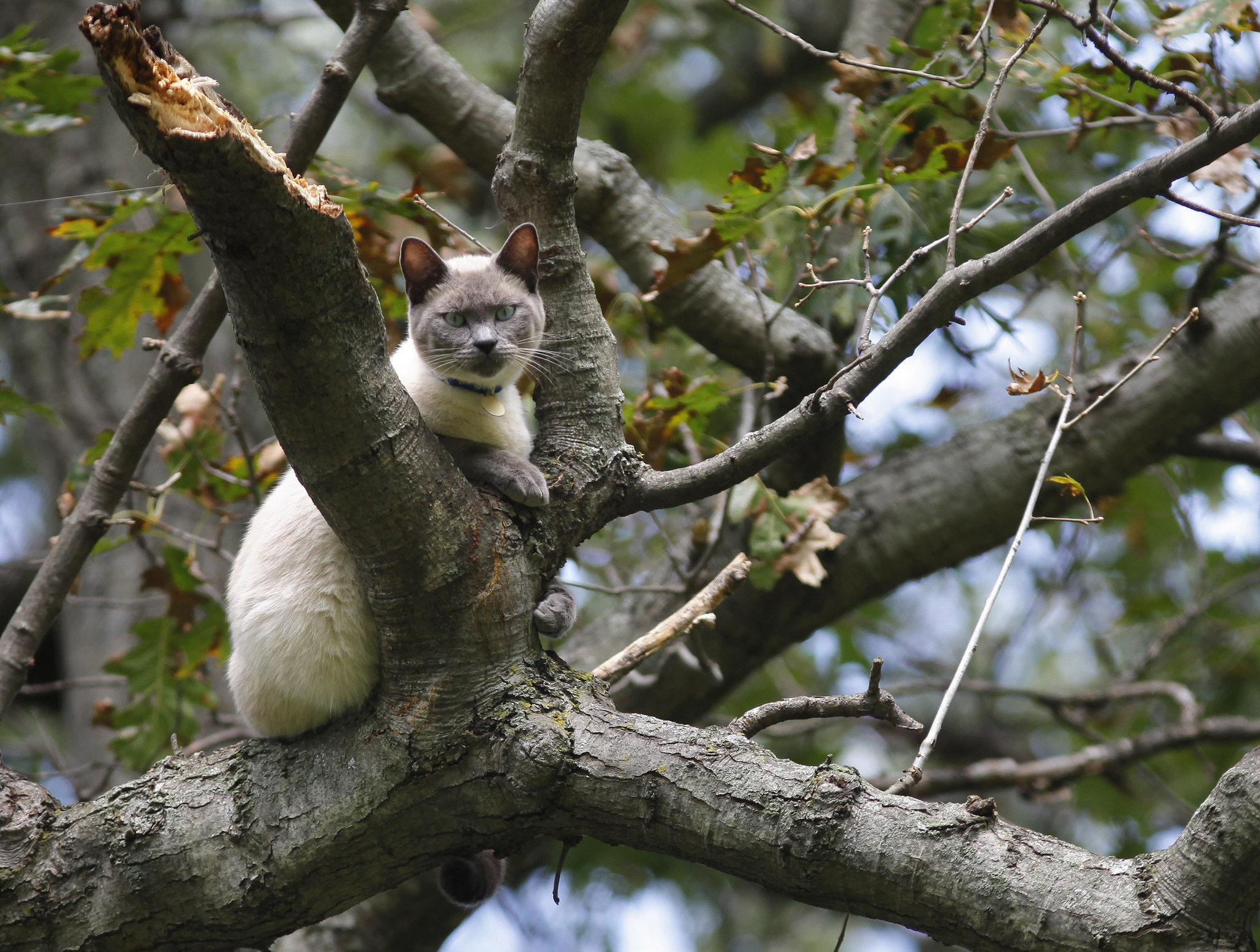 Out on a limb in Texas Township: Cat has been stuck in tree for ...