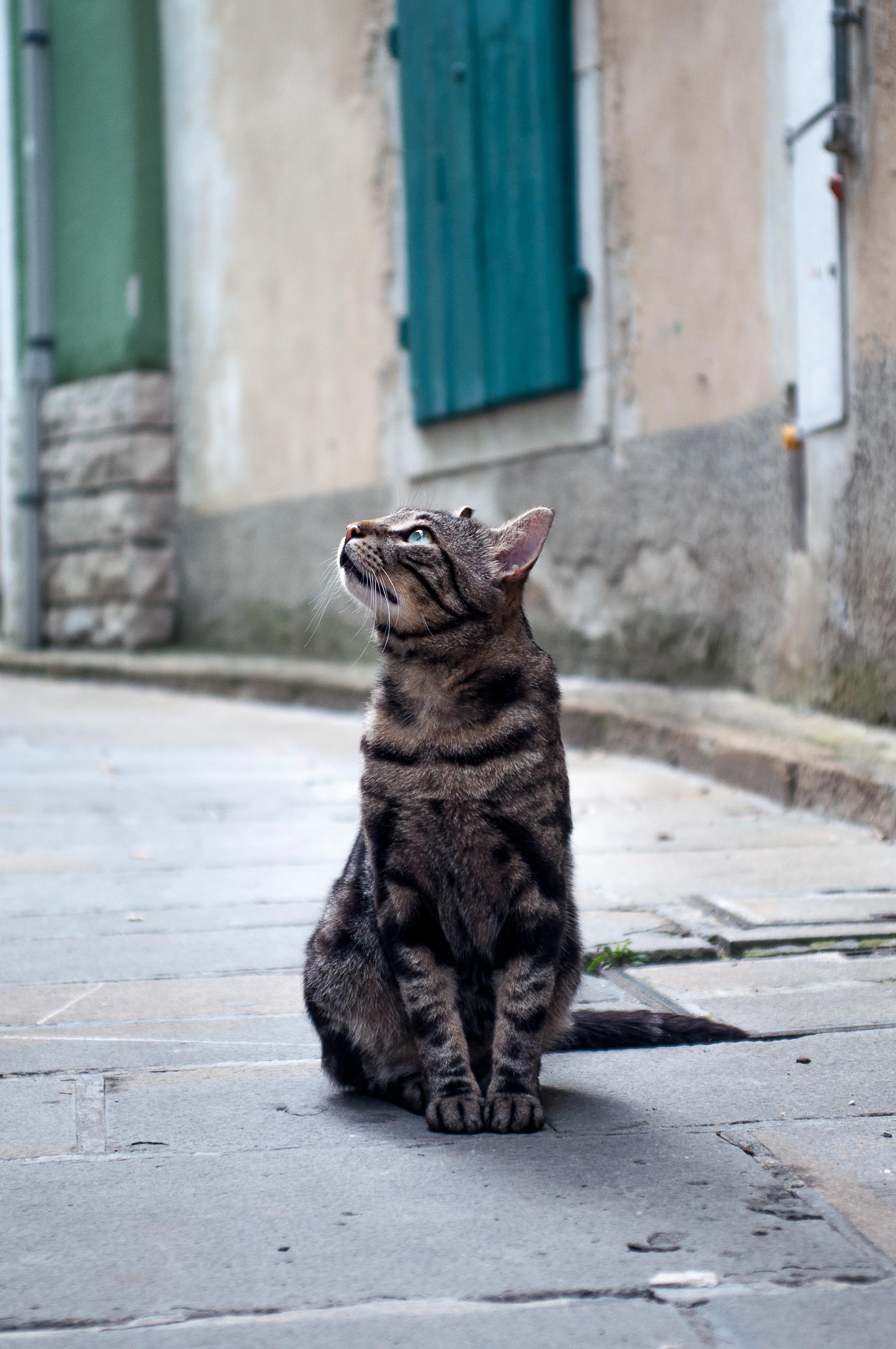 Cat staring, Animal, Cat, Fur, Furball, HQ Photo