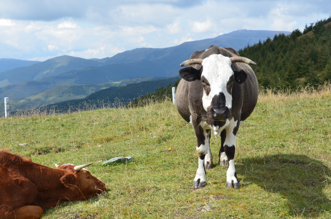 Cattle Grazing, Livestock, Nature, Grazing, Cows, HQ Photo