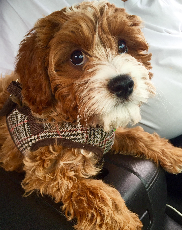 Free Photo Cavapoo Pet Loyal Dog Free Download Jooinn