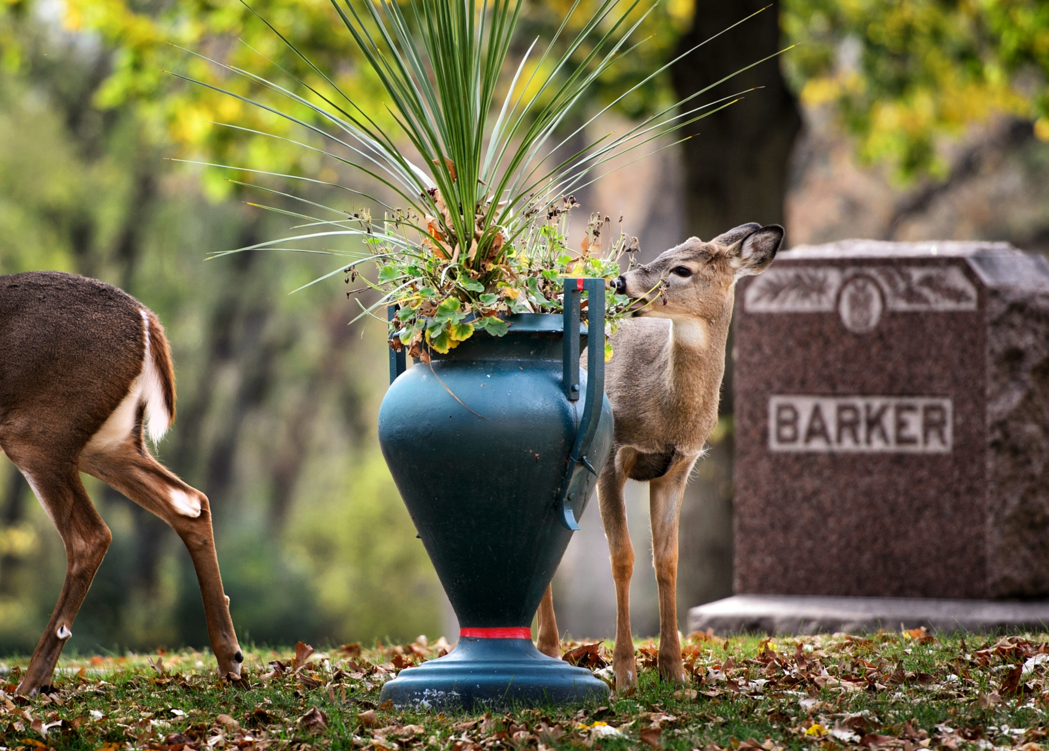 Once-remote Minneapolis cemeteries now have us living with the dead ...
