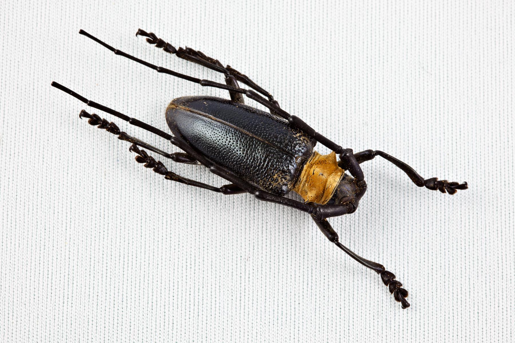 Cerambycidae beetle photo
