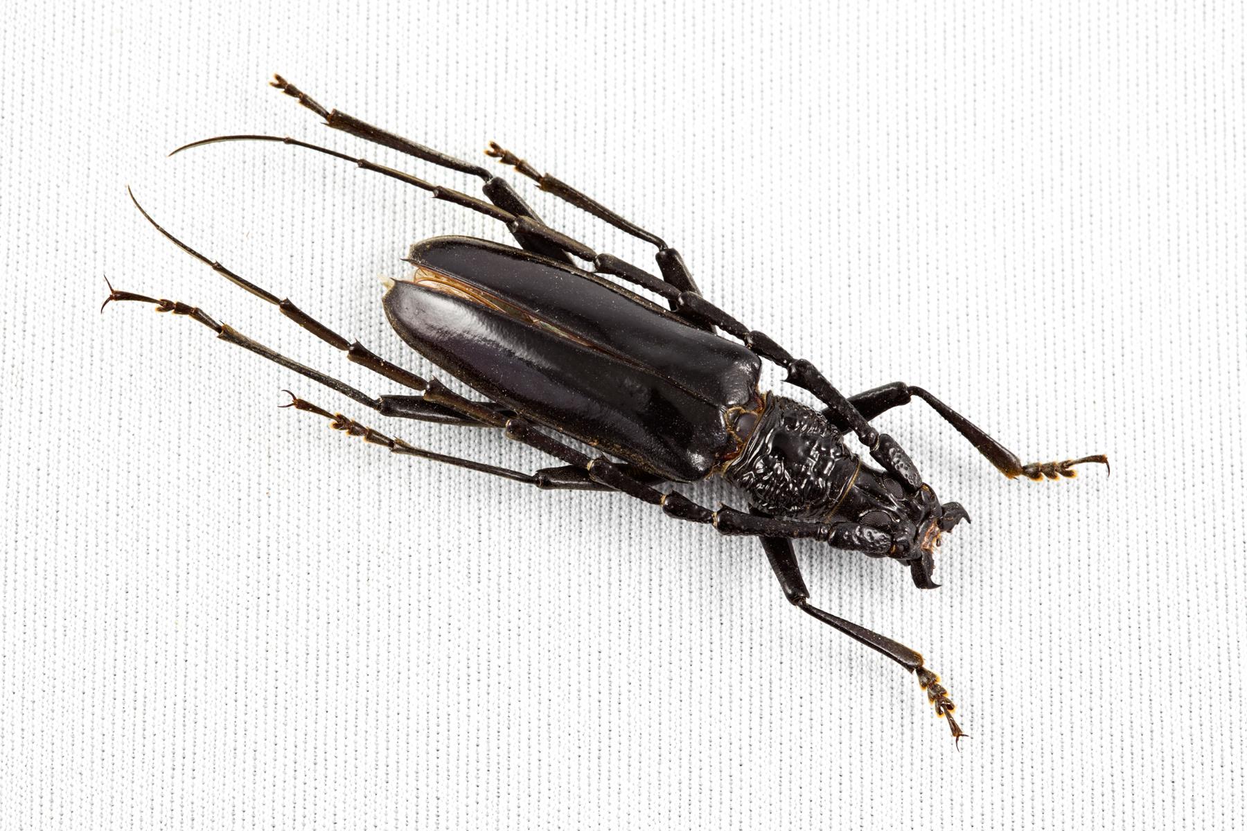 Cerambycidae Beetle, Animal, Insect, Invertebrate, Isolate, HQ Photo