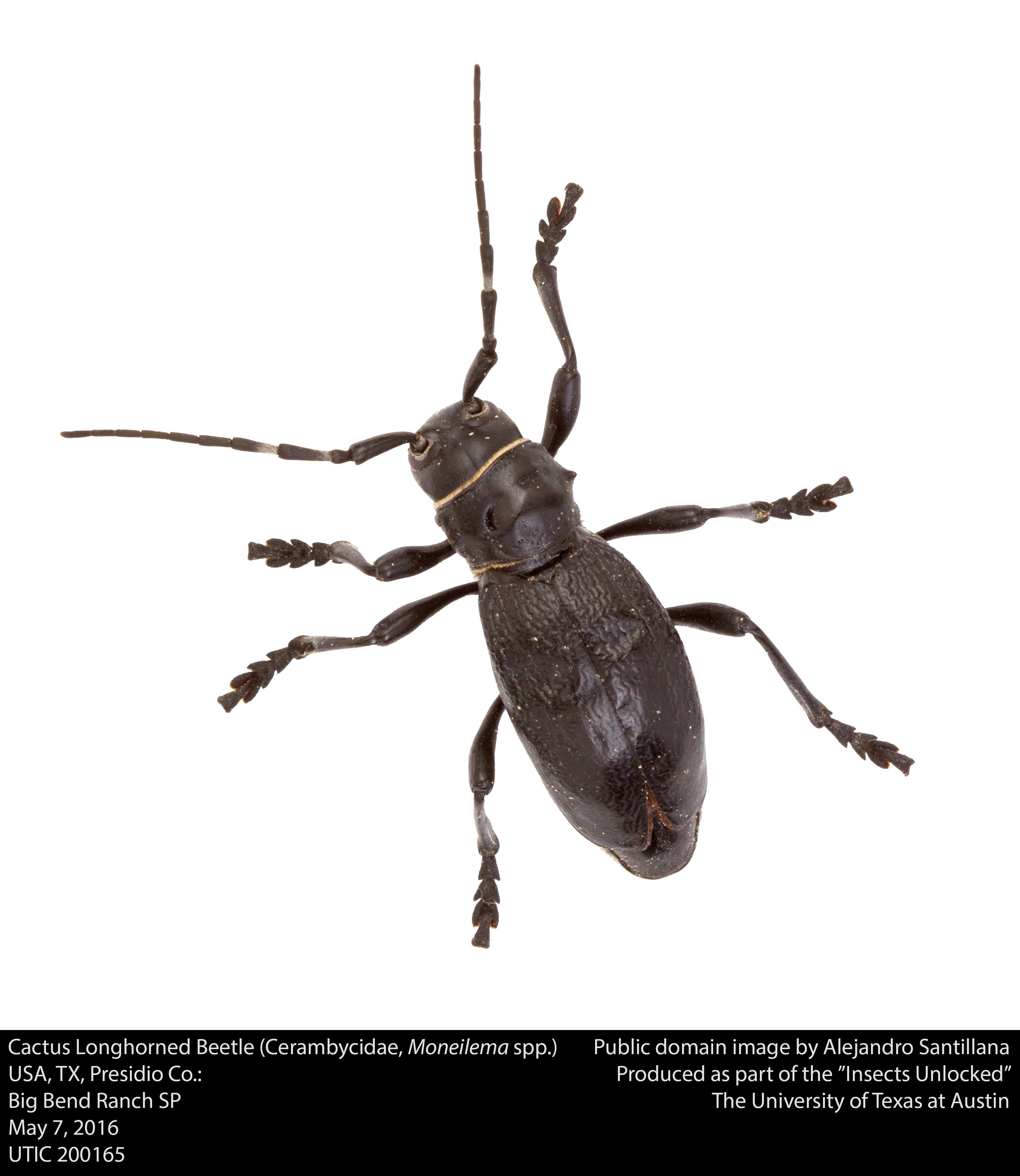 File:Cactus Longhorned Beetle (Cerambycidae, Moneilema spp ...