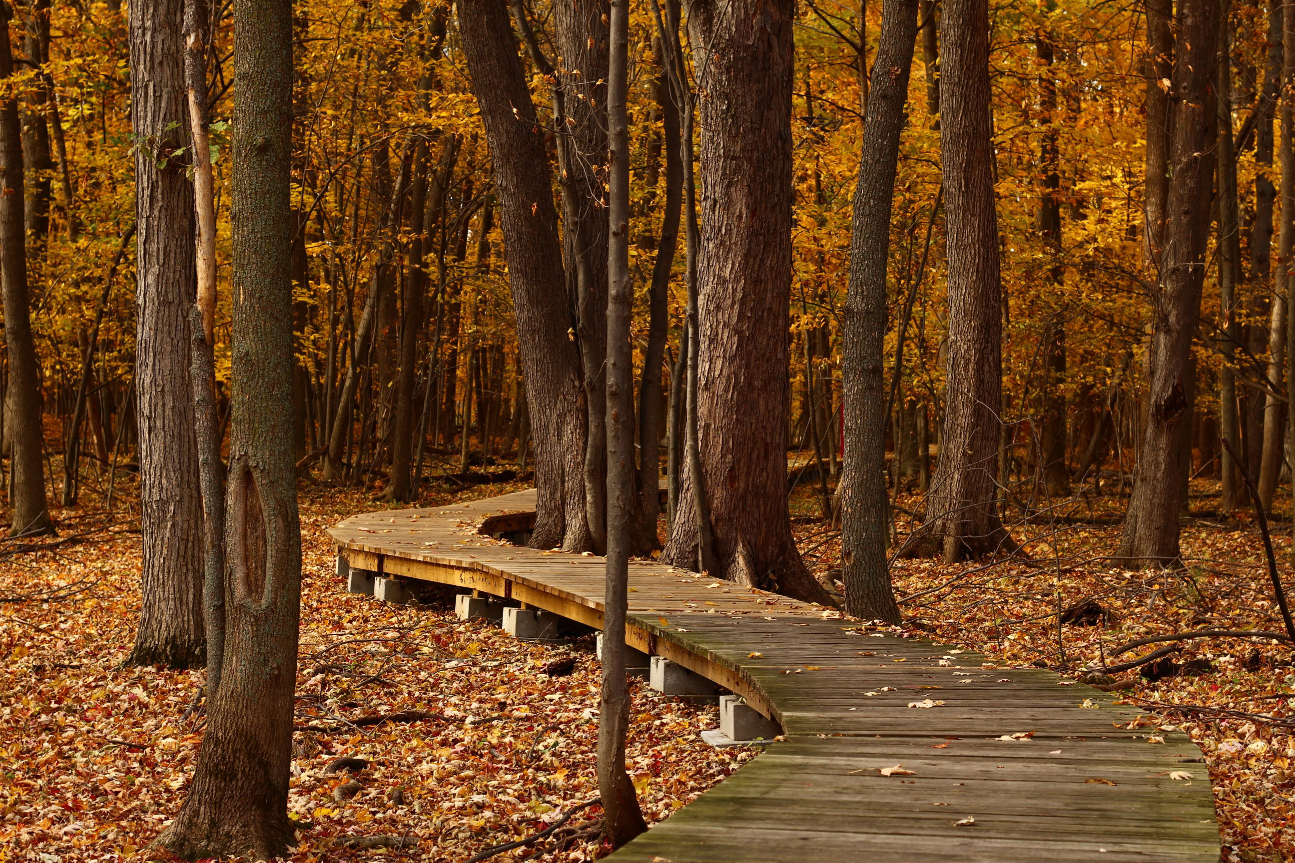 Charred autumn boardwalk photo
