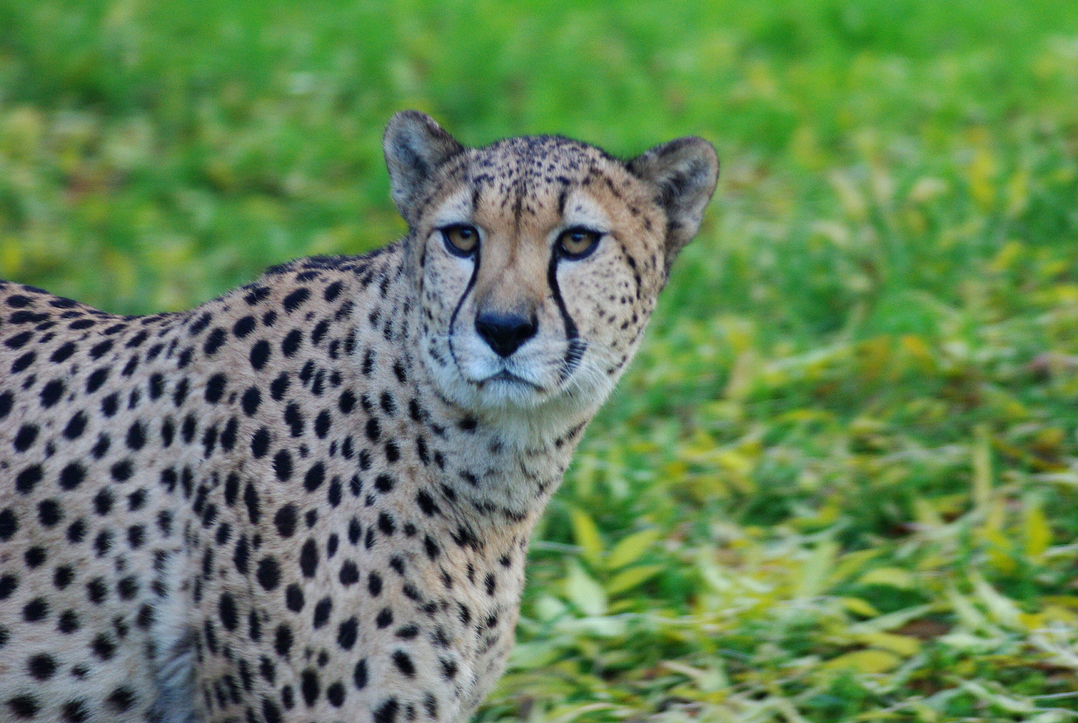 Cheetah, Animal, Brown, Cat, Wild, HQ Photo