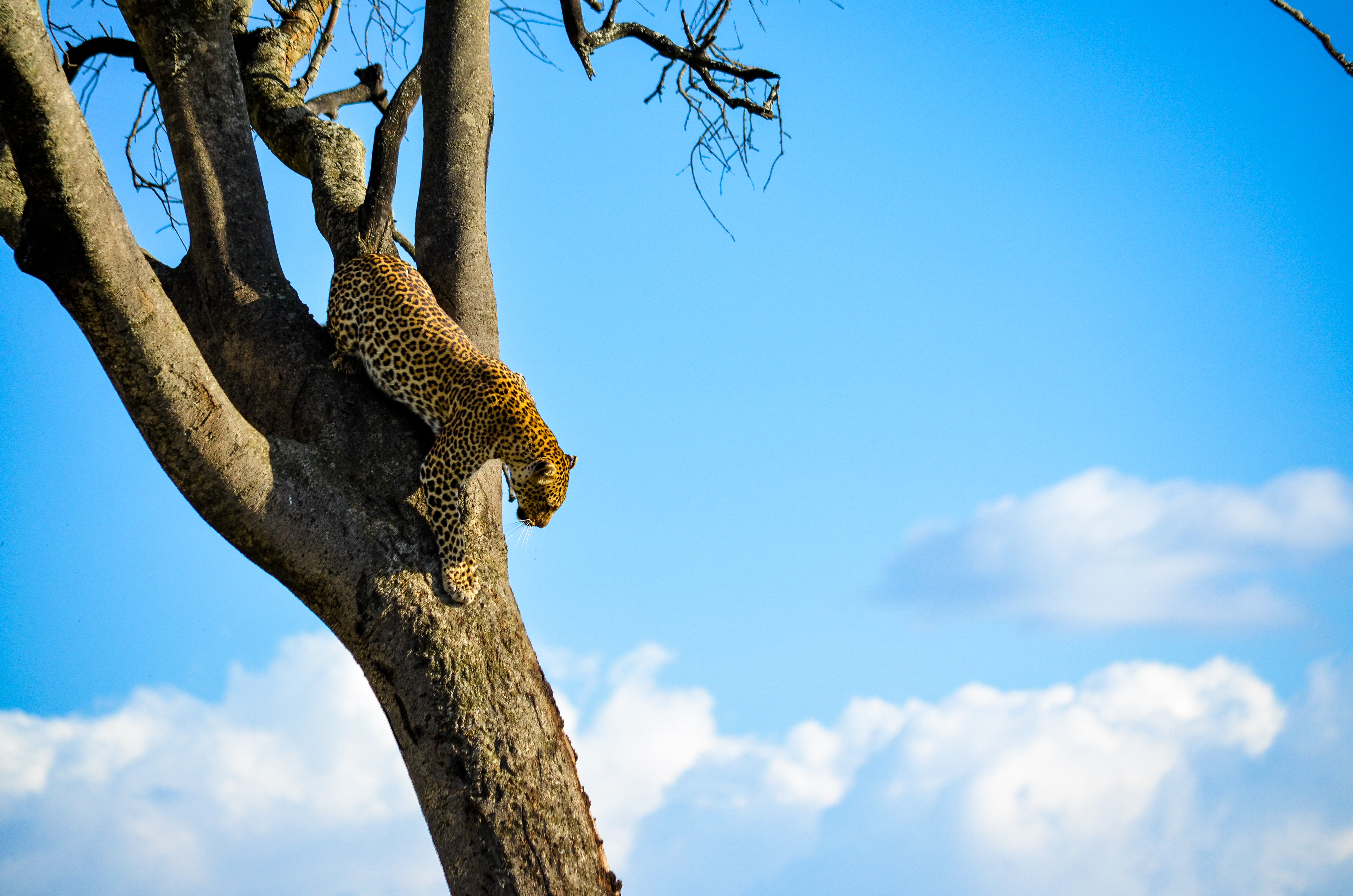 Cheetah on Brown Tree, Low angle shot, Wood, Wildlife, Trunk, HQ Photo