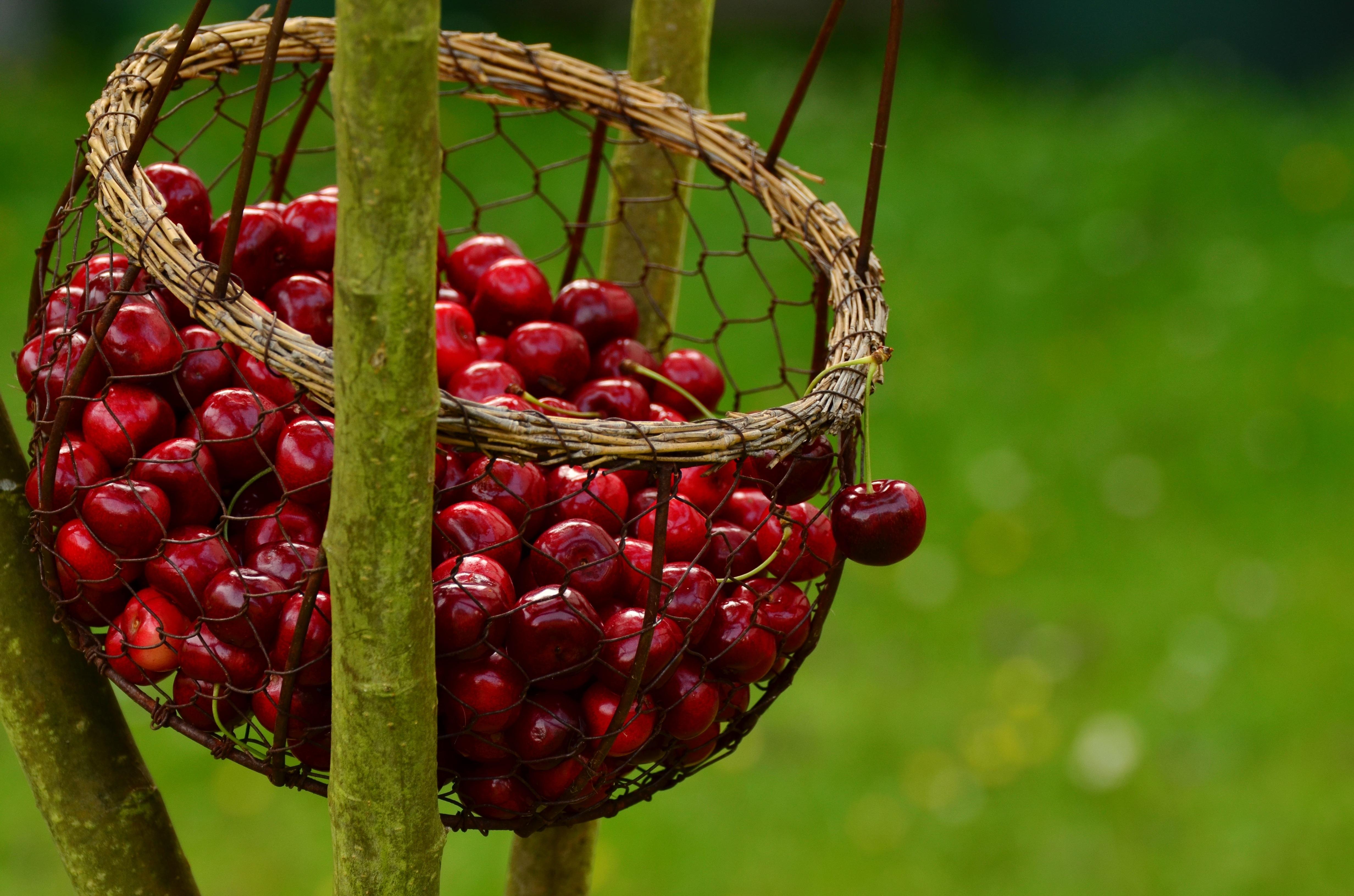 Cherries Basket, Basket, Cherries, Cherry, Food, HQ Photo