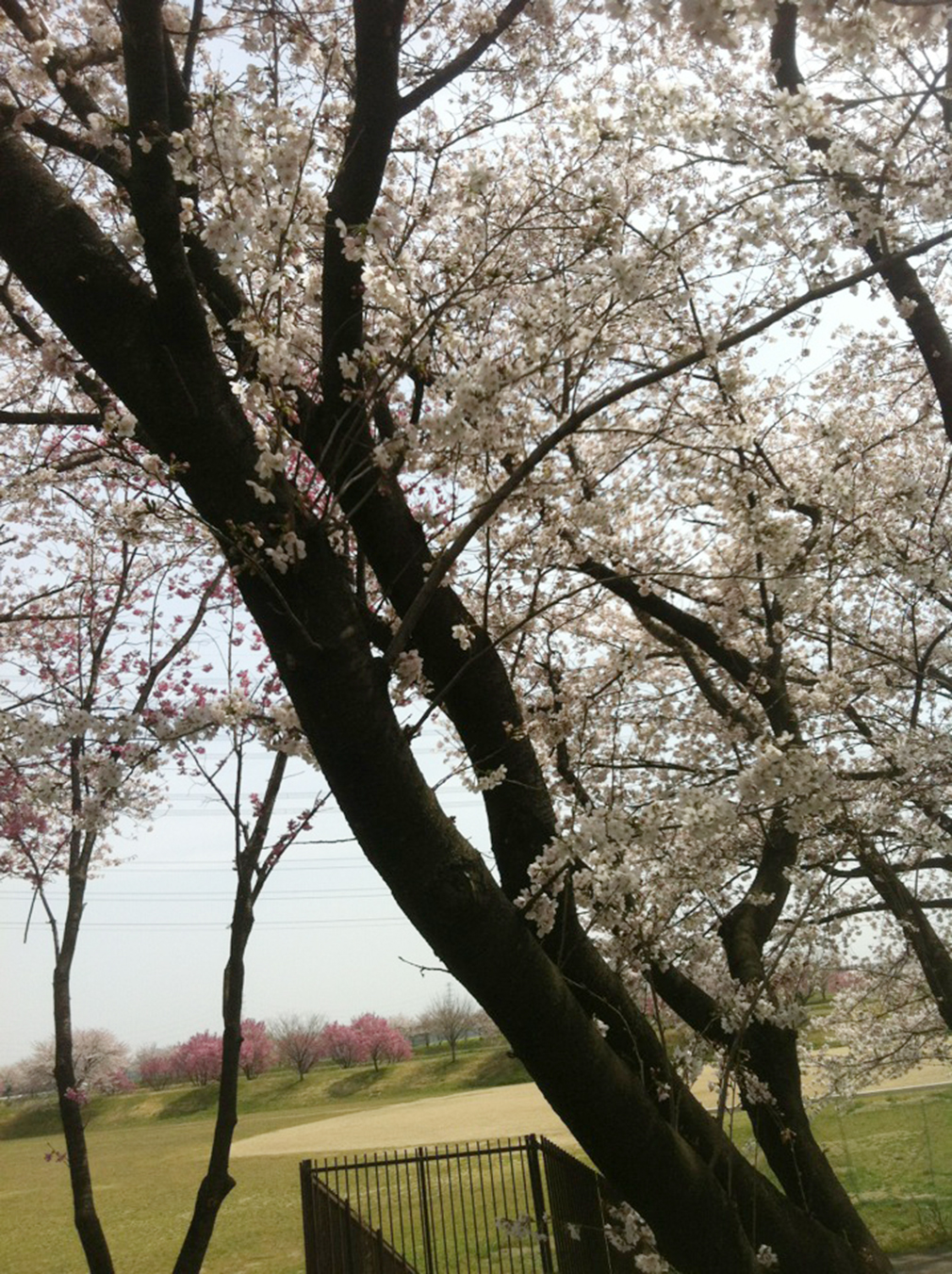 Cherry Blossom - Sakura, Blossom, Cherry, Flower, Sakura, HQ Photo