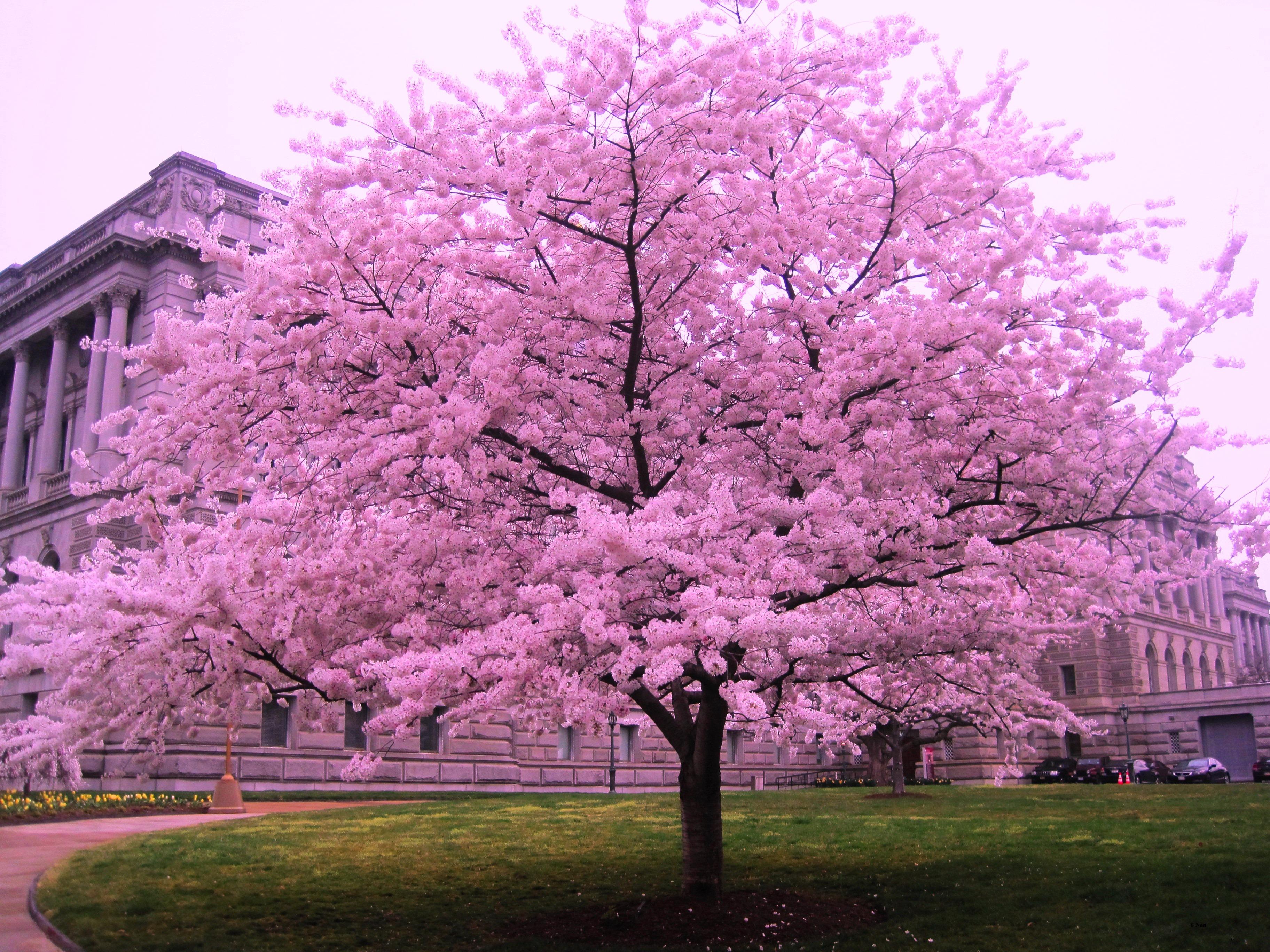 cherry blossom wallpaper erry Blossom Computer Wallpapers rh