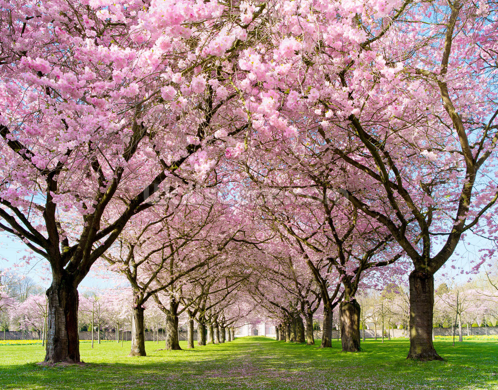 Cherry blossom trees photo