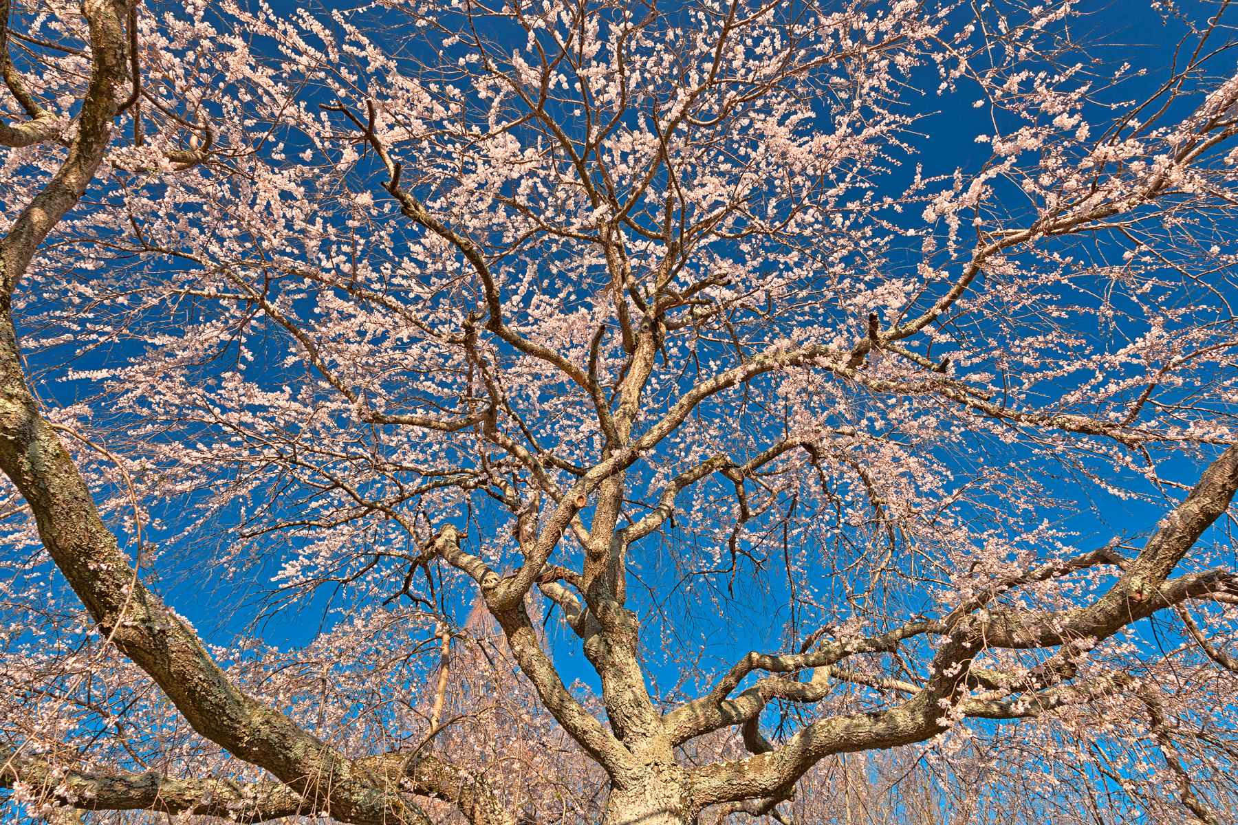 Cherry blossom tree close-up - hdr photo