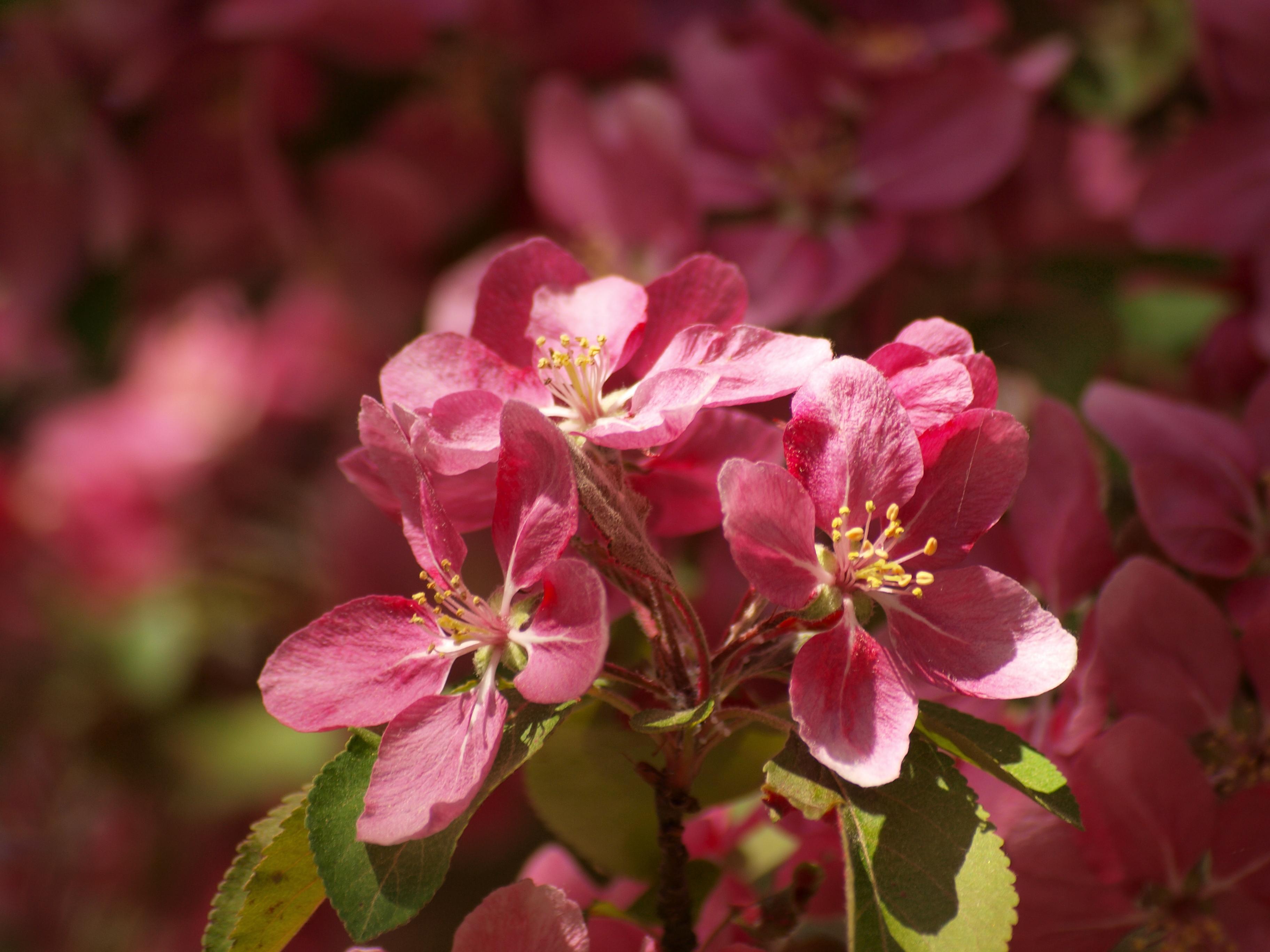 Cherry tree flowers, summer, sunny, tree, red, HQ Photo