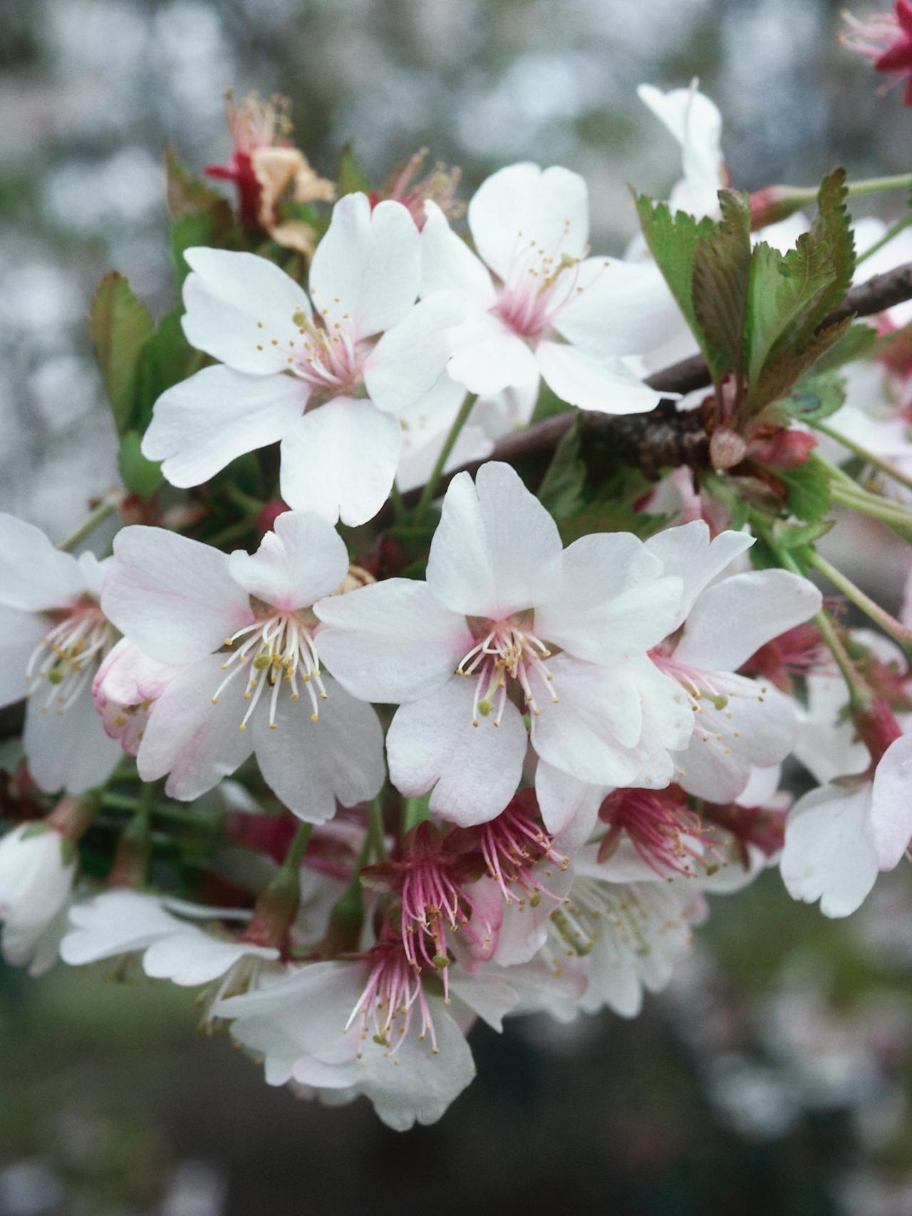 pictures of cherry trees in bloom | My Web Value