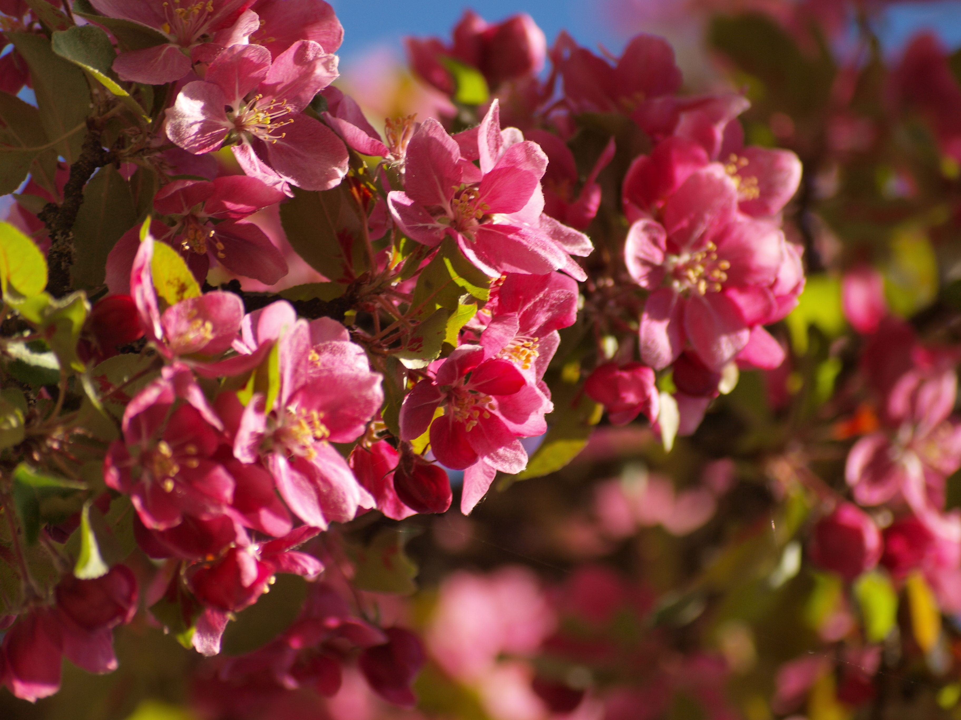 Cherry tree flowers, summer, sunny, tree, red, HQ Photo