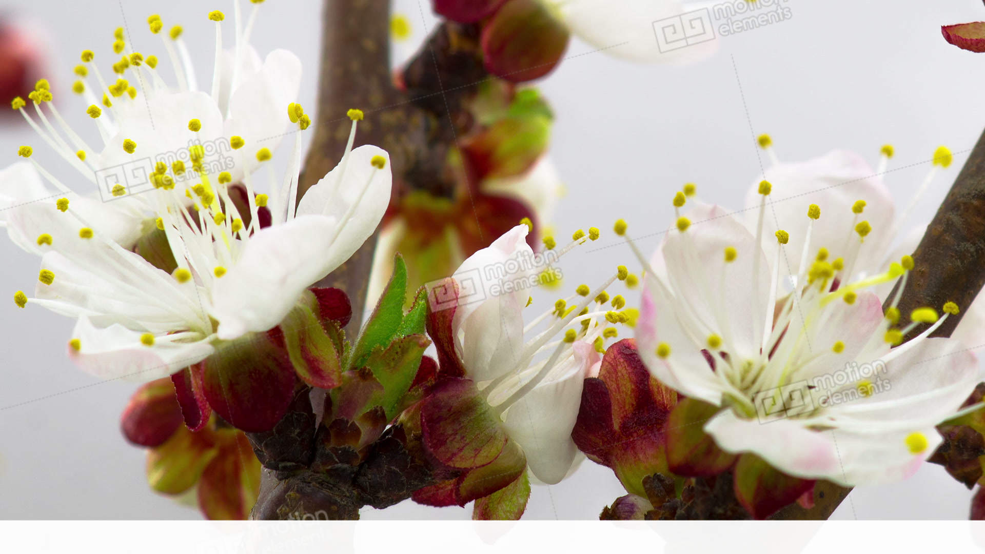 White Cherry Tree Flowers Blossoms Stock video footage | 11435016