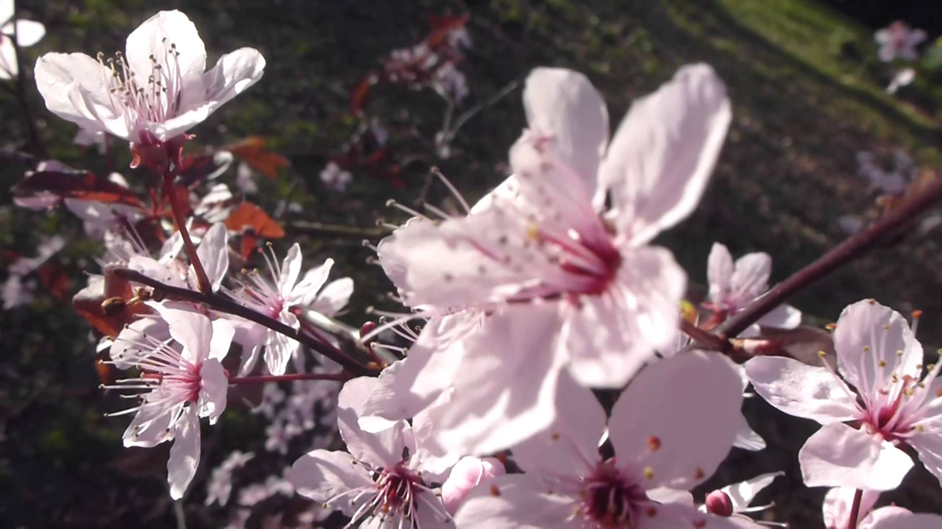 Cherry Tree blossoms - Pink Spring flowers - Kirsuberjatré - Blóm ...