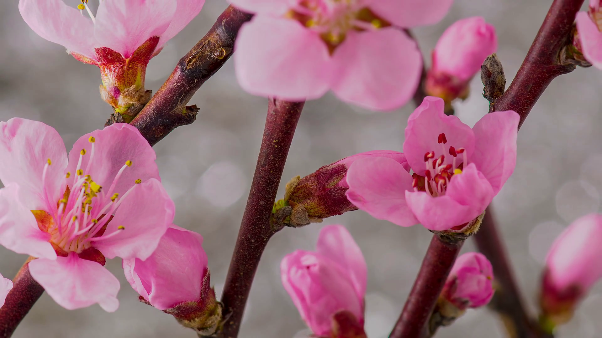 Pink Flowers Blossoms on the Branches Cherry Tree. Timelapse. Stock ...
