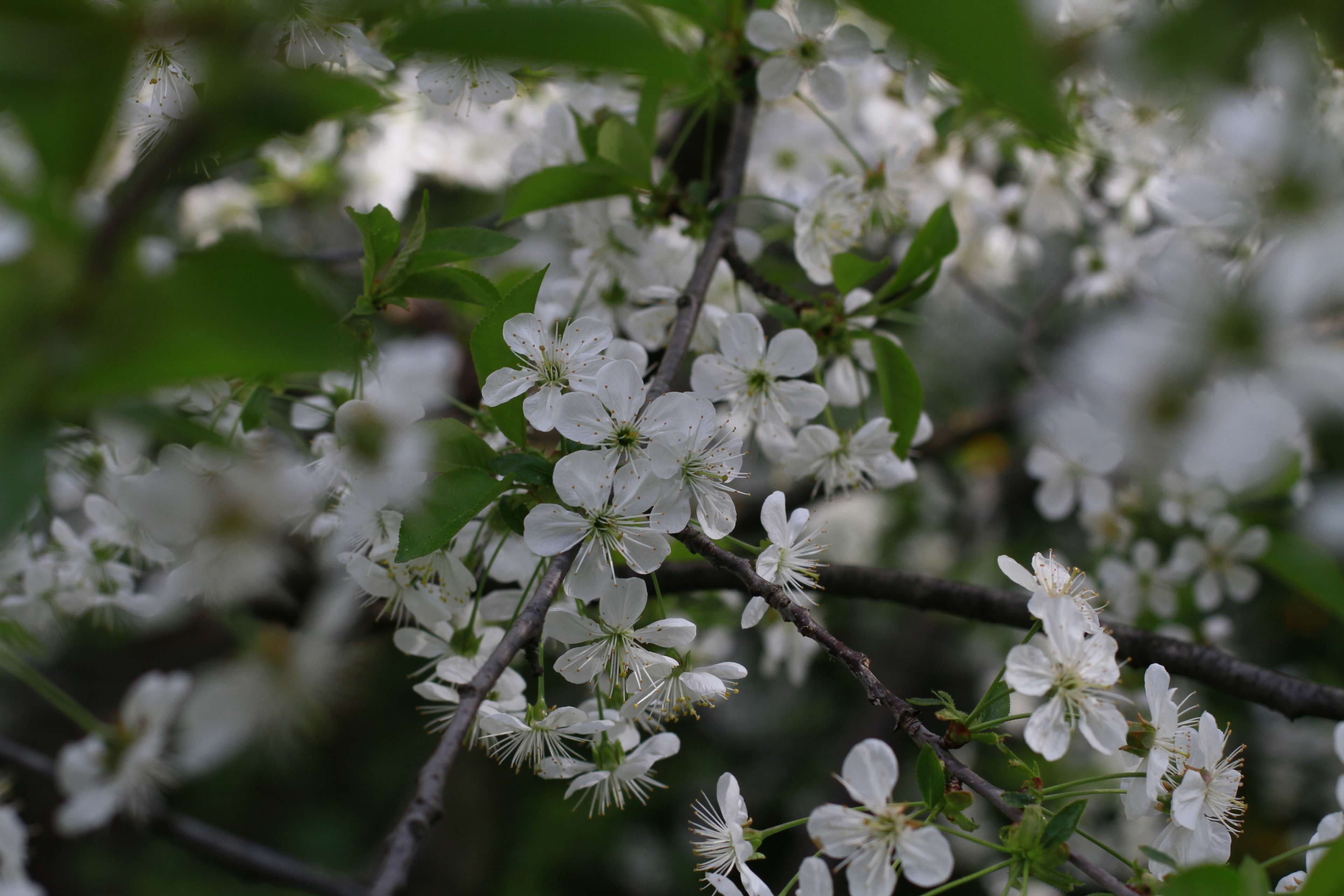 beautiful flowers #cherry blossom #cherry blossoms #cherry tree ...