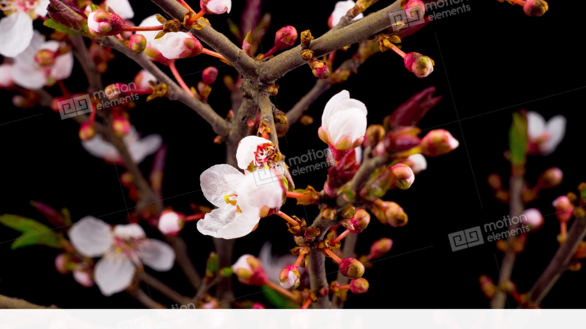 White Flowers Blossoms On The Branches Cherry Tree Stock video ...