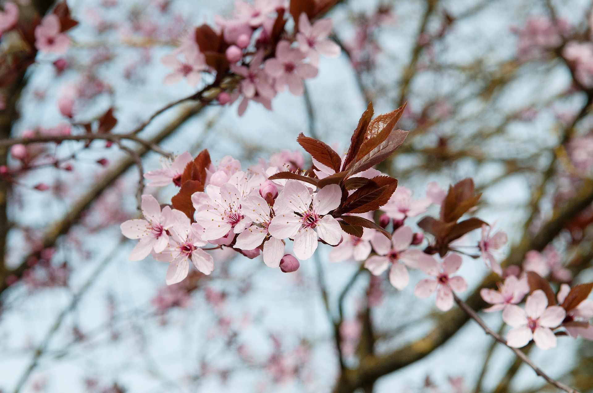 Cherry tree flowers photo