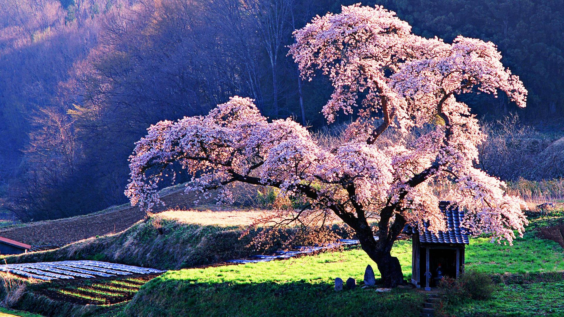 cherry trees | Auntie Dogma's Garden Spot