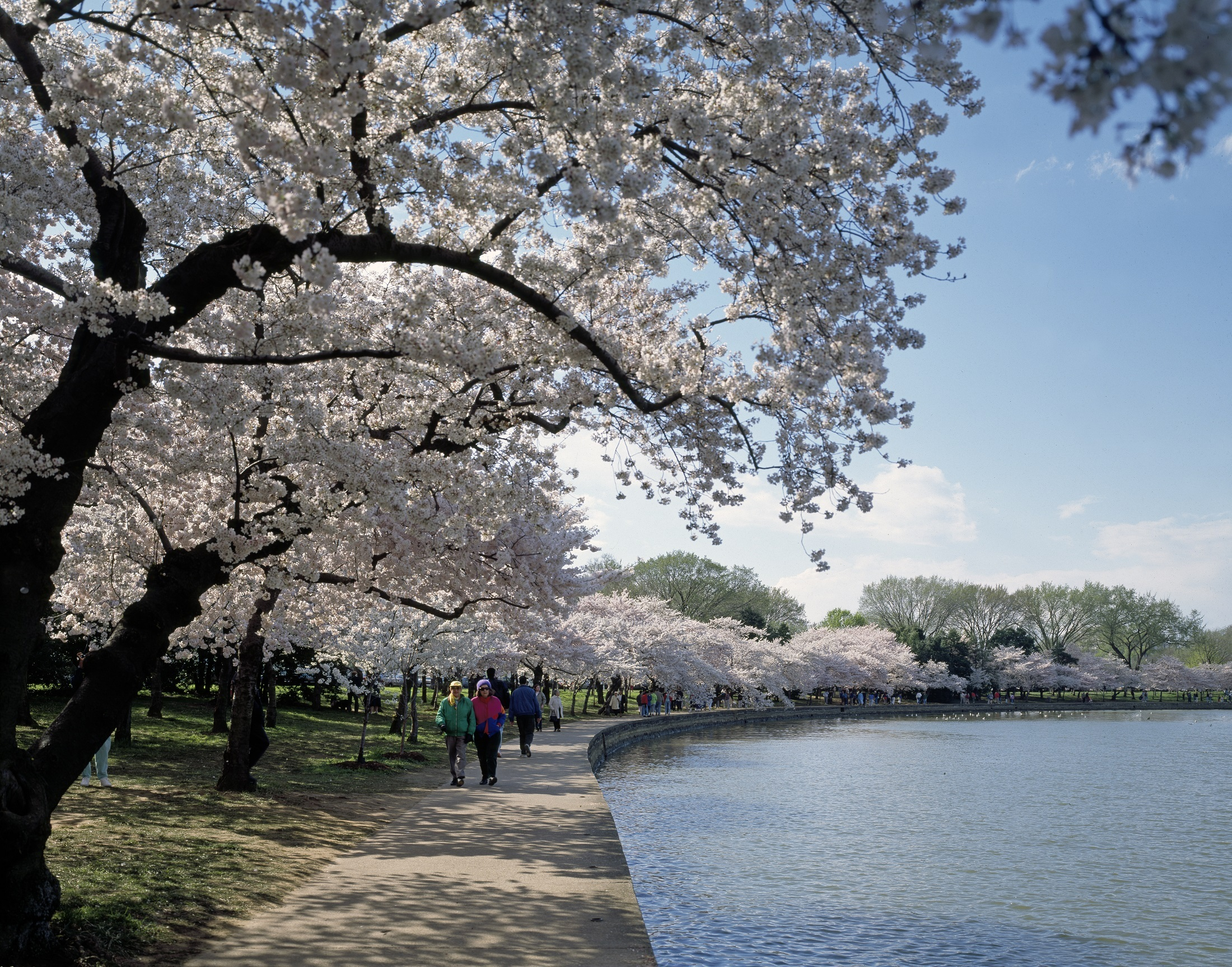 Cherry Trees, Activity, Cherry, Fresh, Human, HQ Photo