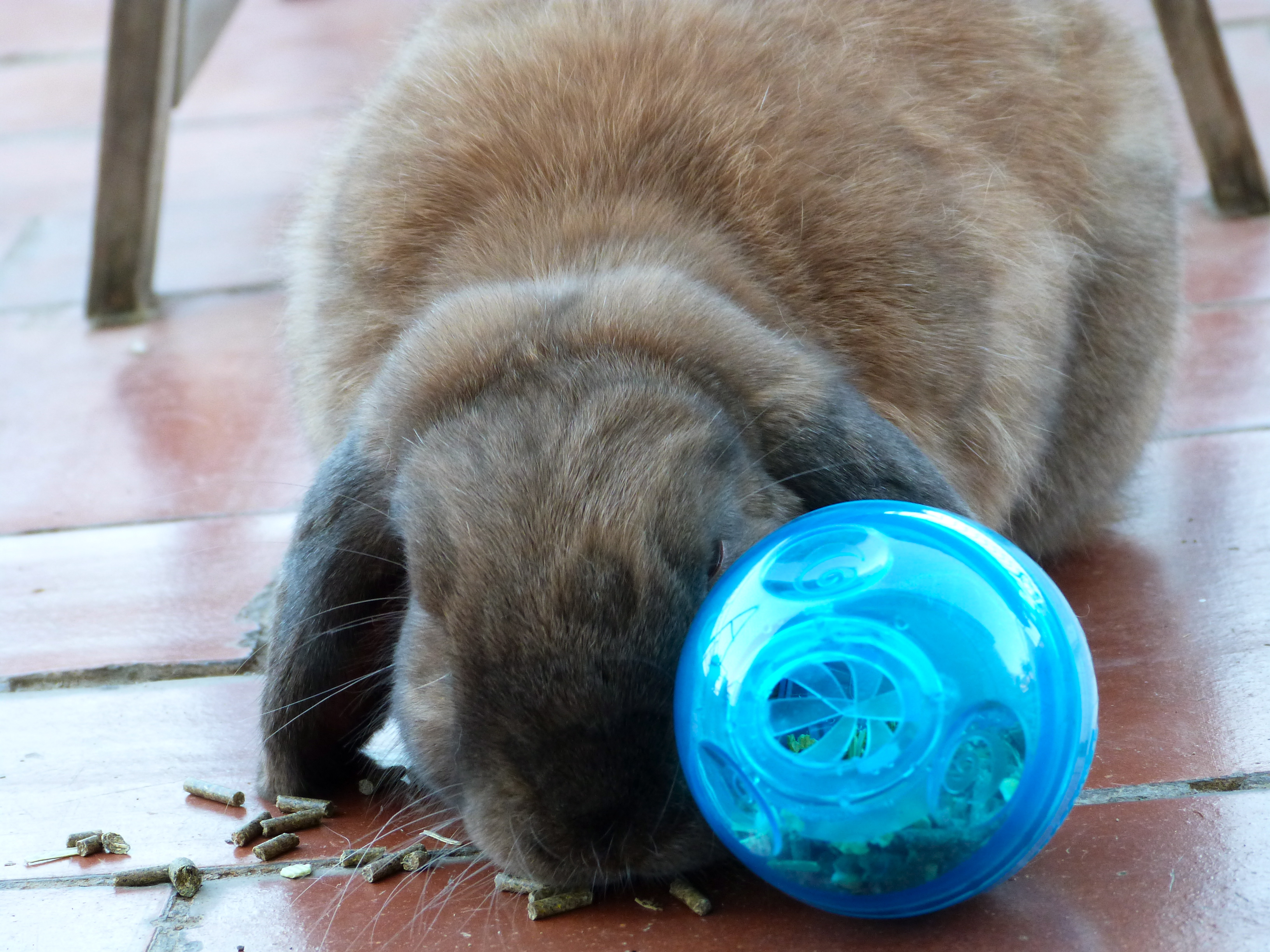 Chewy and the treat ball, Animal, Food, Toy, Rabbit, HQ Photo