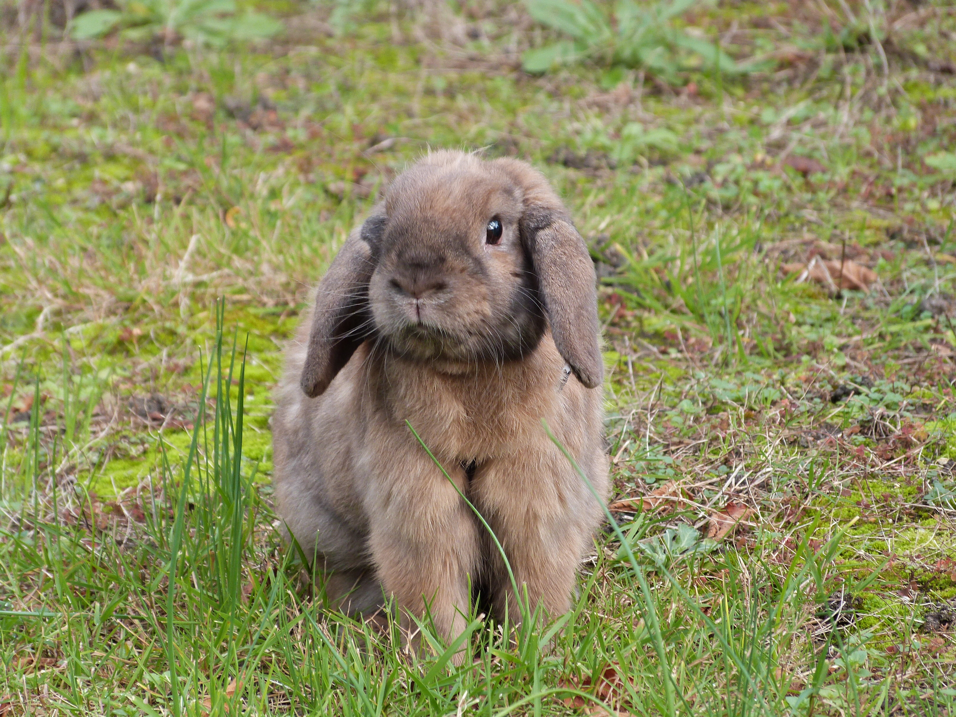 Chewy in my garden, Animal, Black, Brown, Bunny, HQ Photo