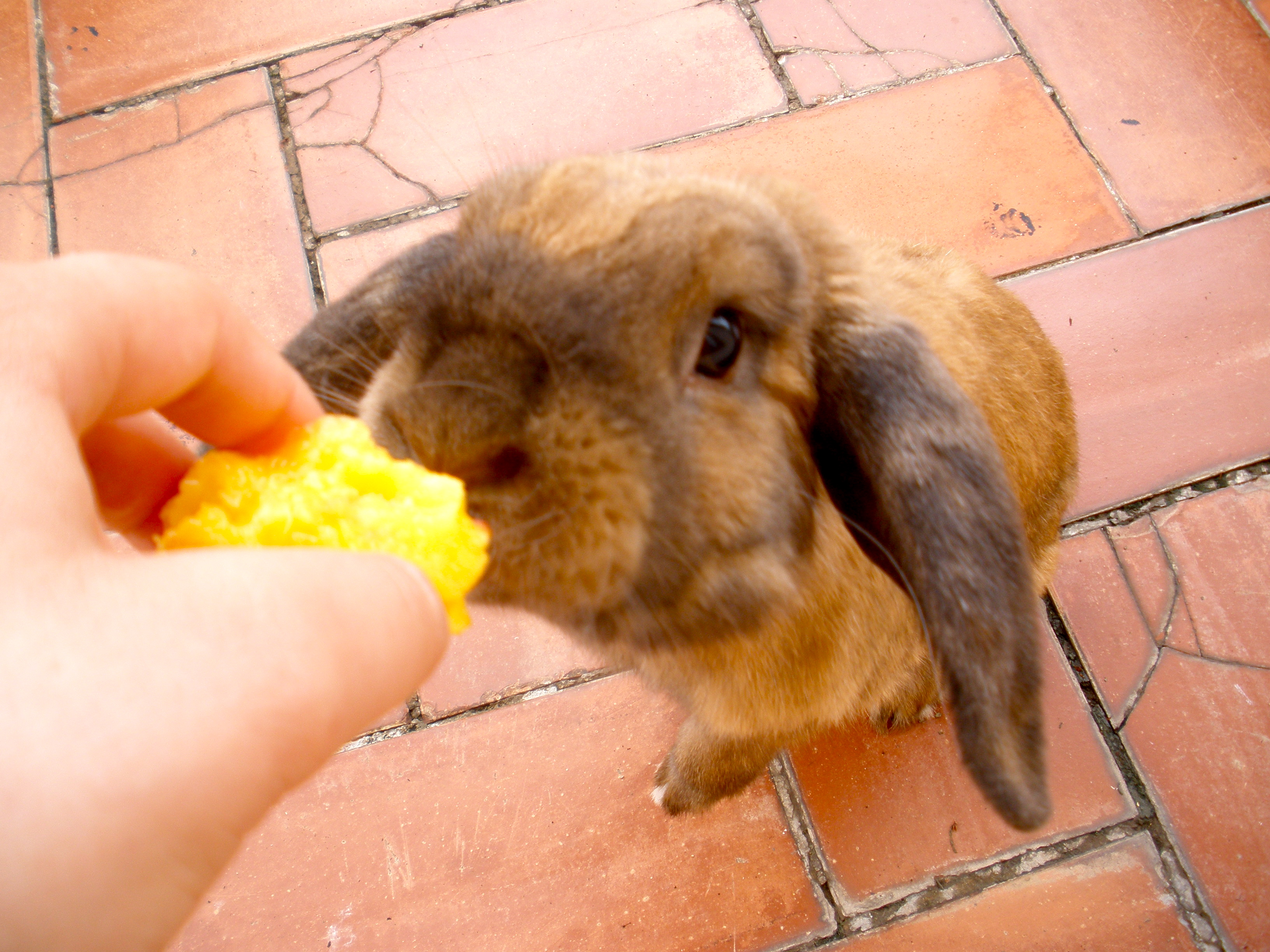 Chewy would do anything for a peach!, Bunny, Chewy, Cute, Food, HQ Photo
