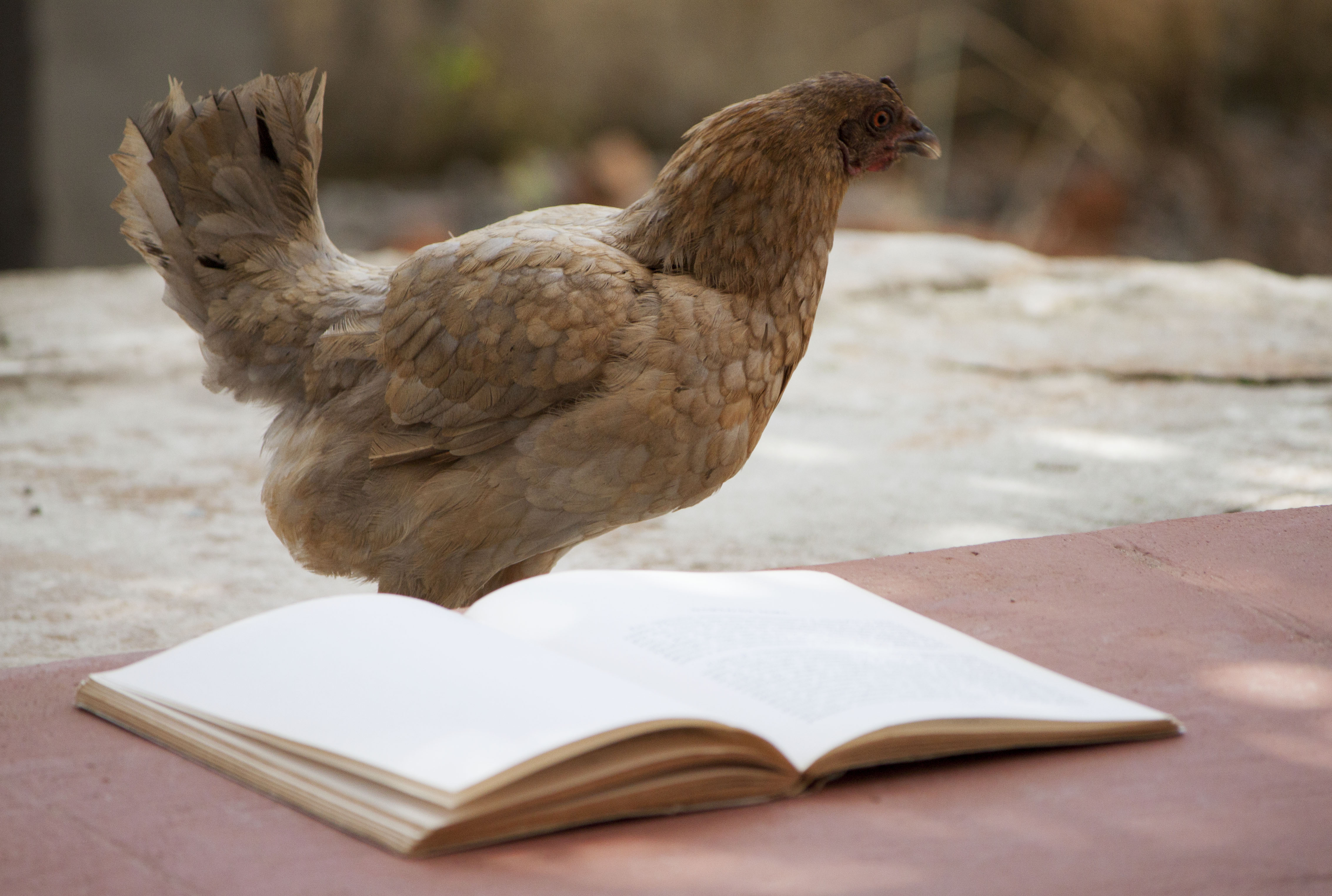 Chicken reading a book, Animal, Female, Rooster, Red, HQ Photo