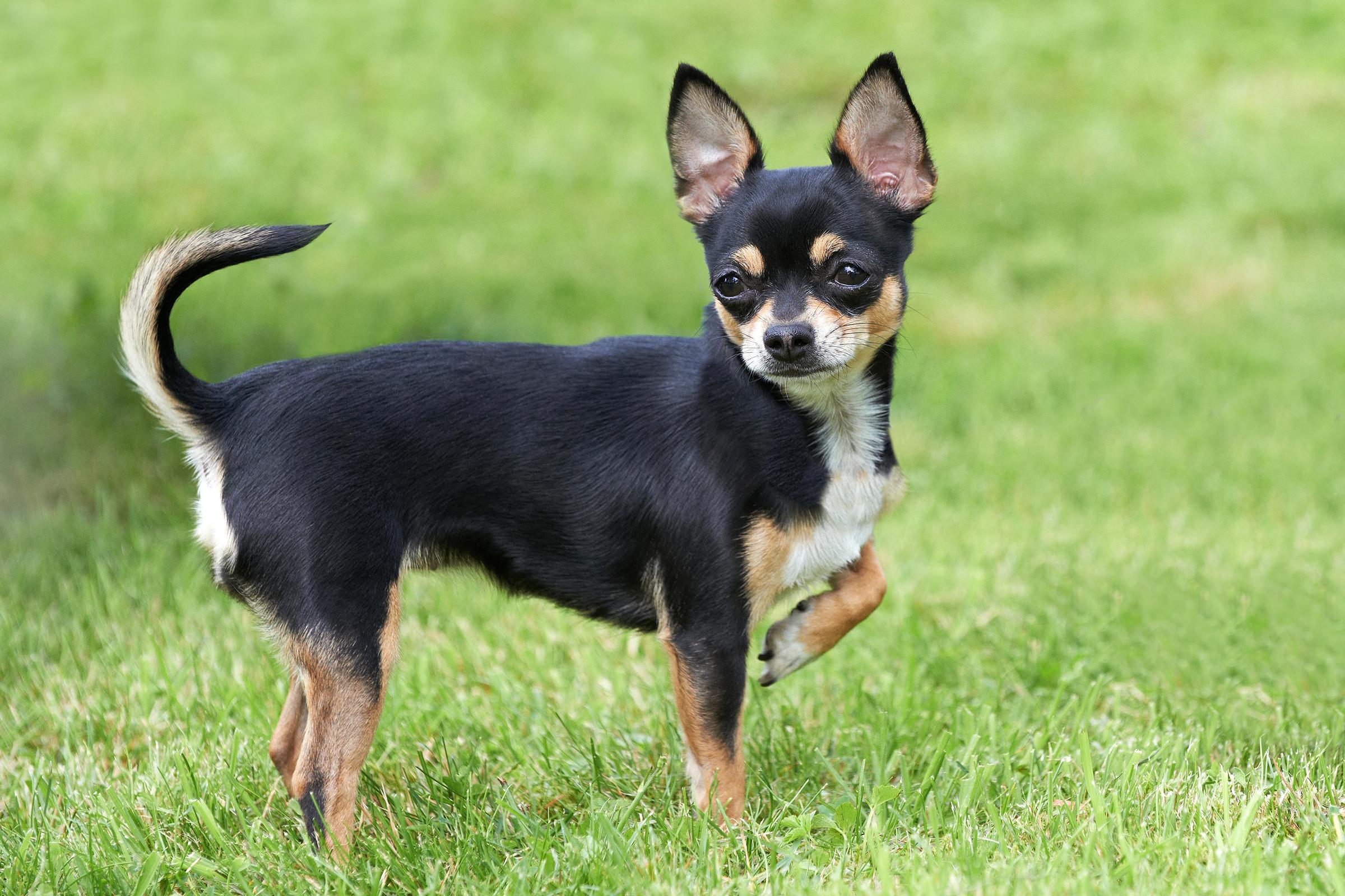 Chihuahuas photo