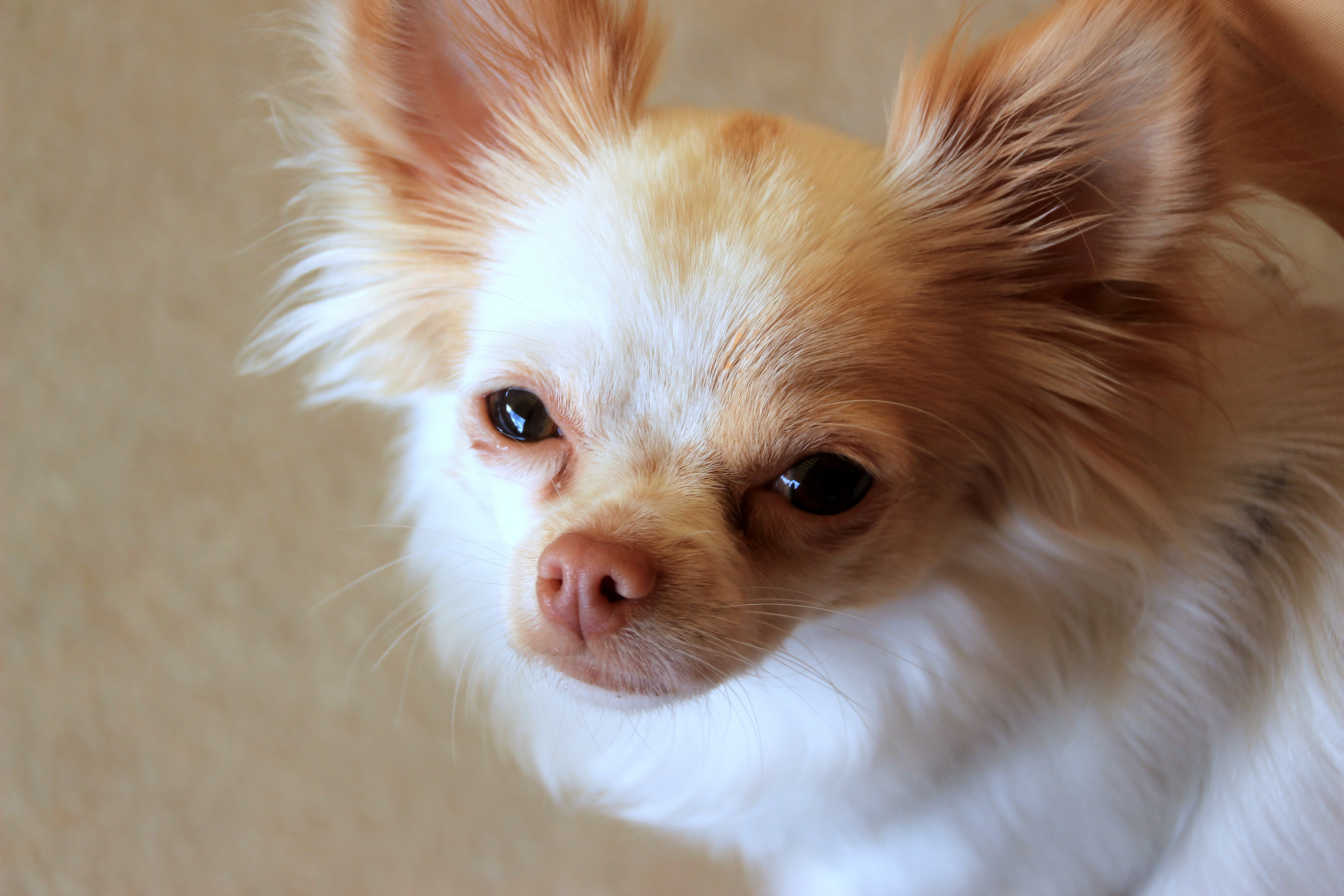 Chihuahua closeup photo