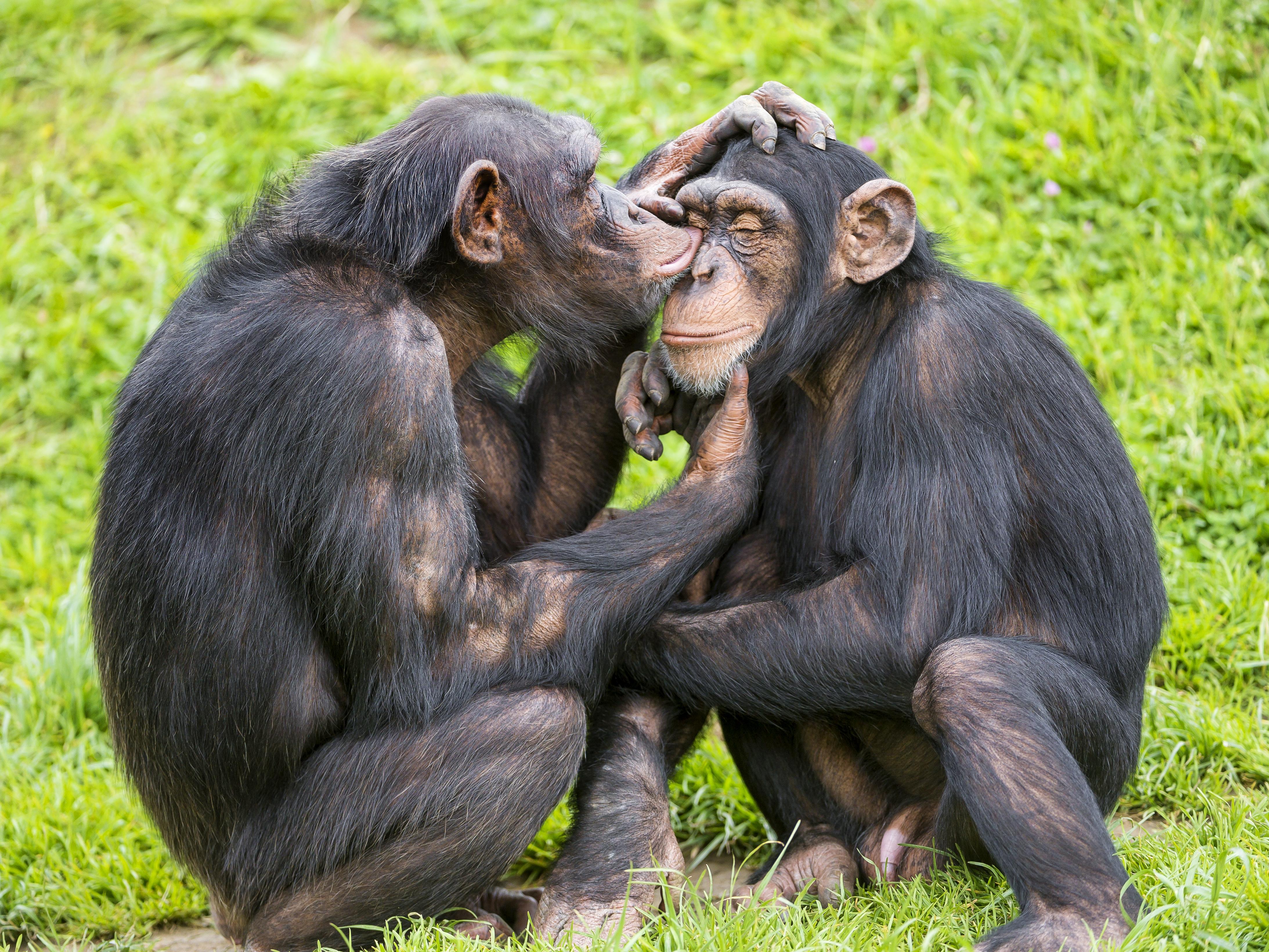 Chimp couple photo