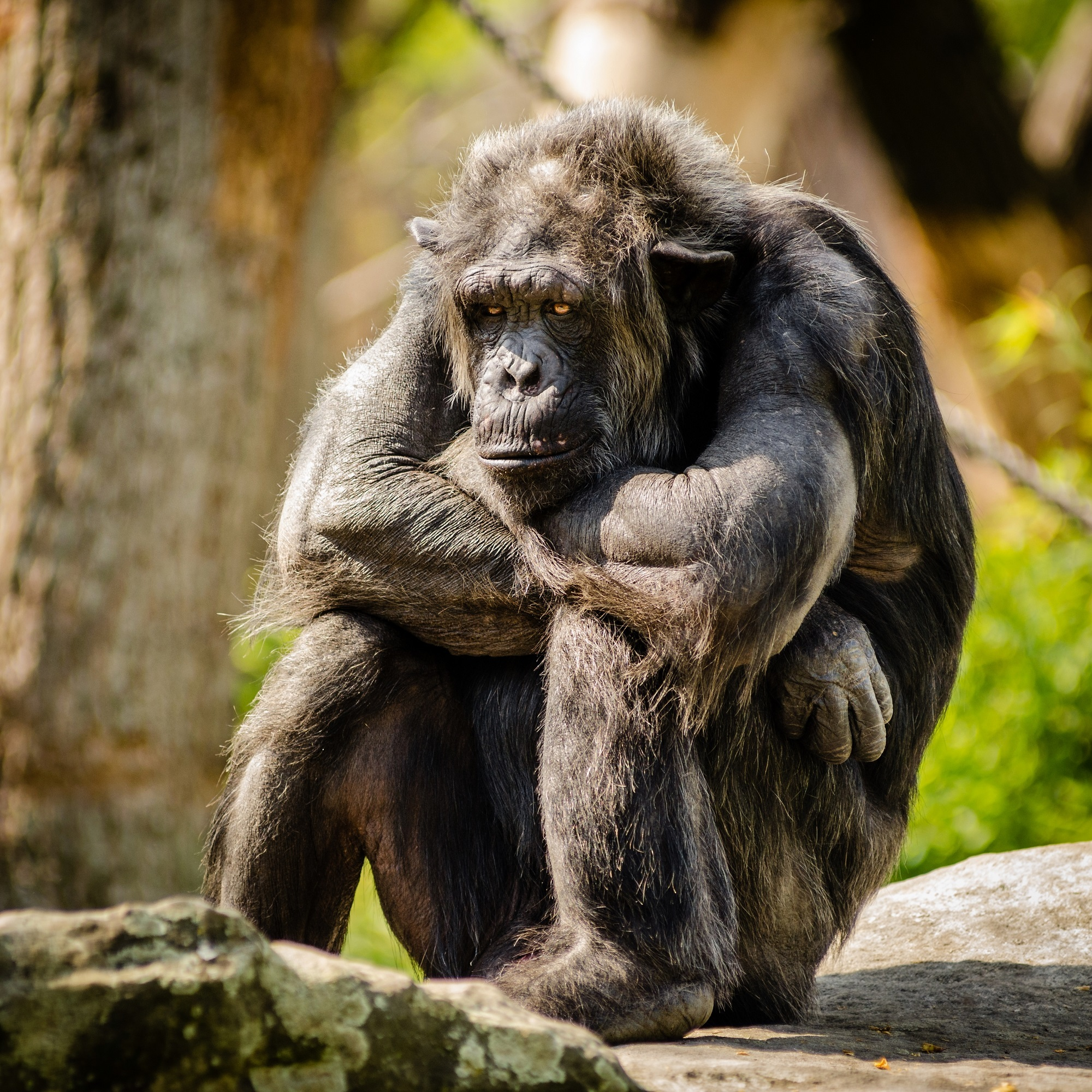 Chimpanzee in the zoo photo