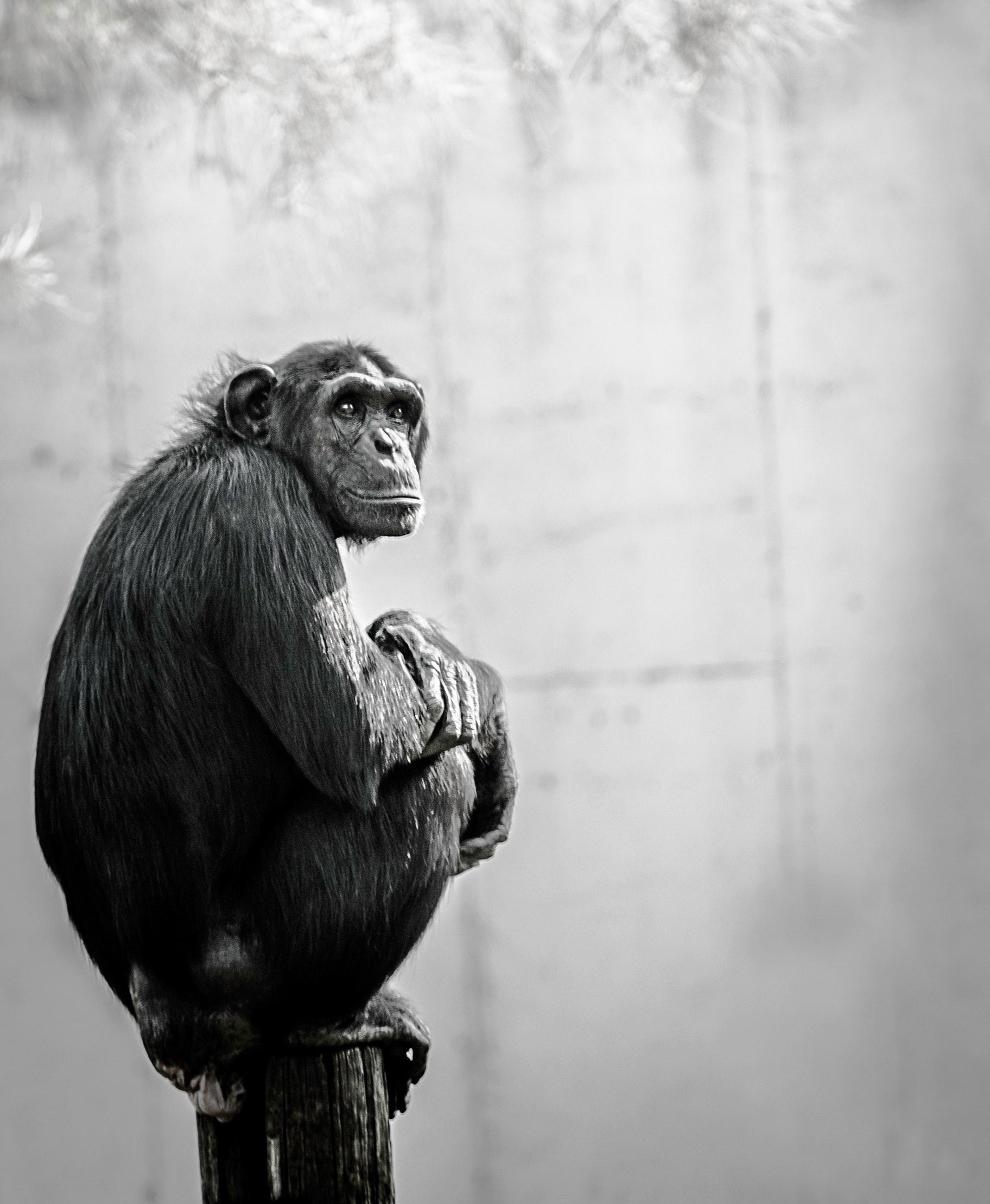 Chimpanzee sitting on wood photo