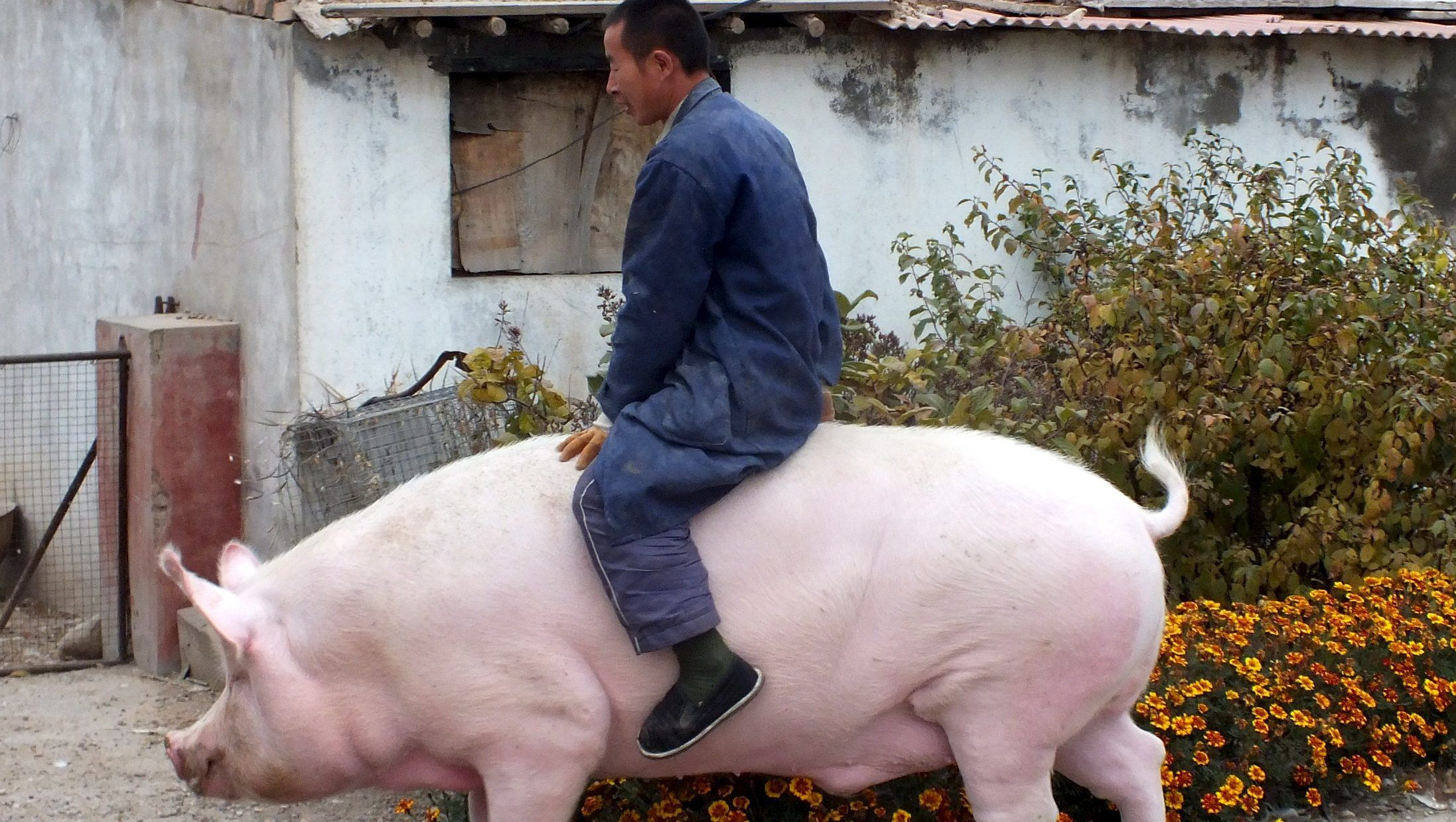 You can soon short pigs in pork-loving China — Quartz