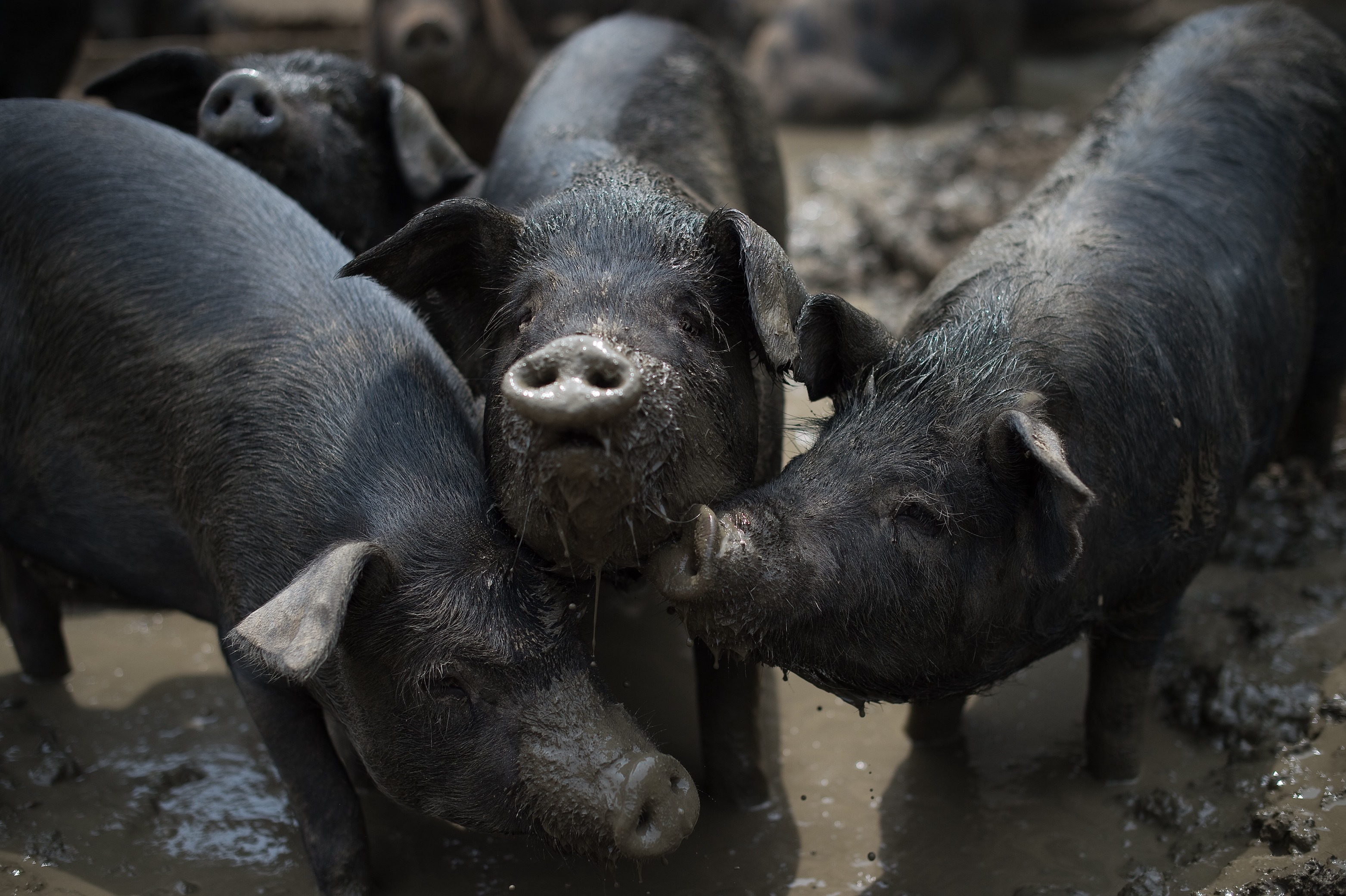 China 'backyard' pig farmers squeezed as sector scales up | Asia Times