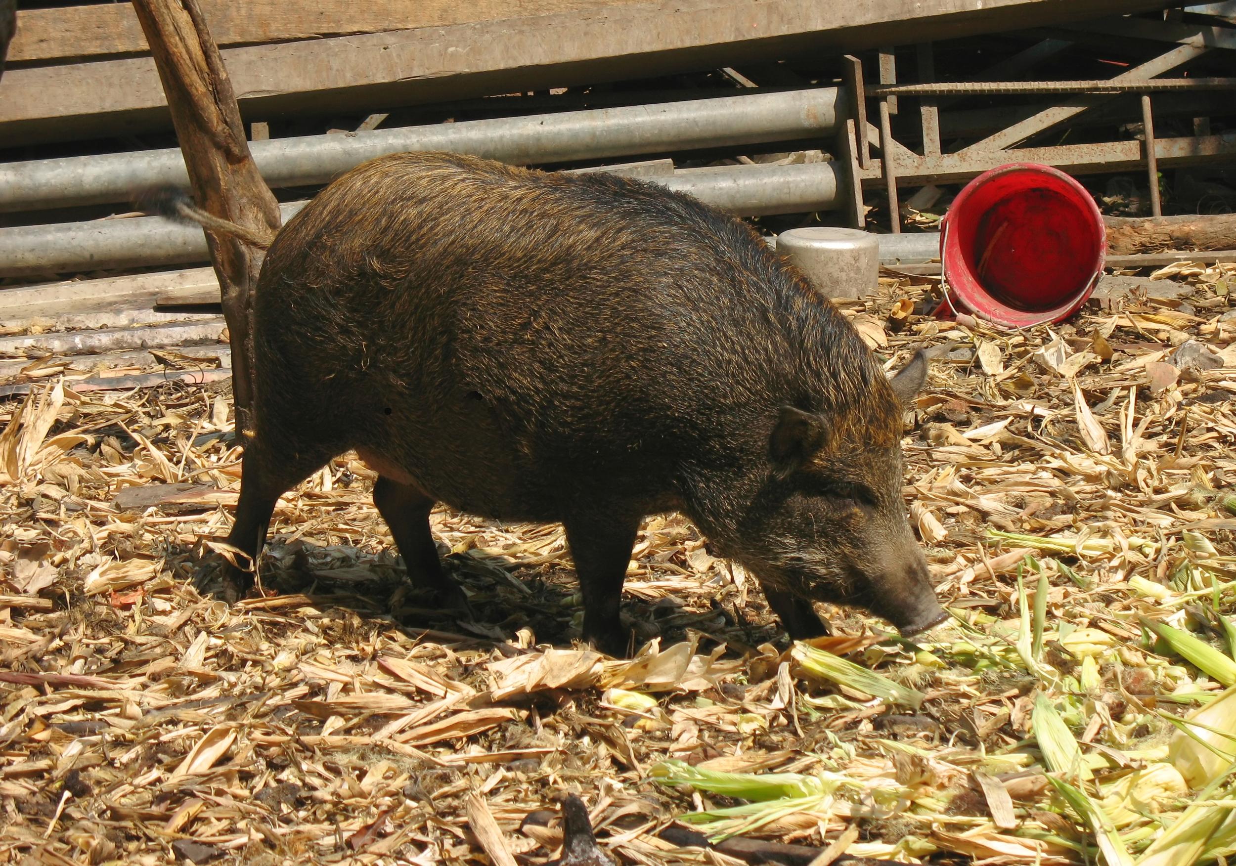 Chinese Black Pig, Animal, Tree, Tail, Swine, HQ Photo