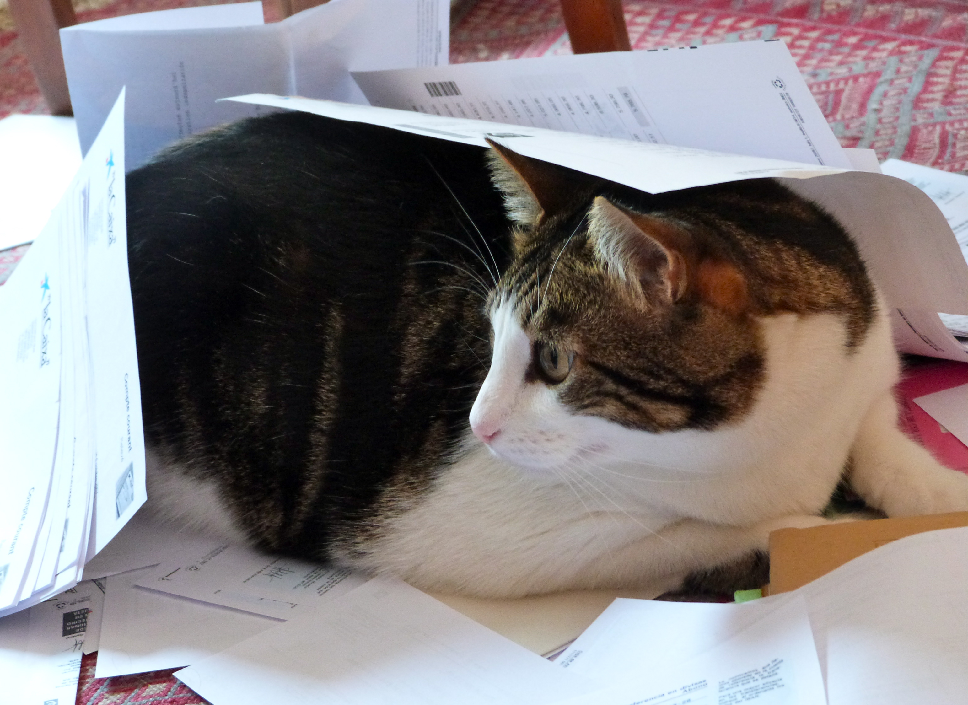 Chiqui helps us with paper work, Animal, Black, Brown, Cat, HQ Photo