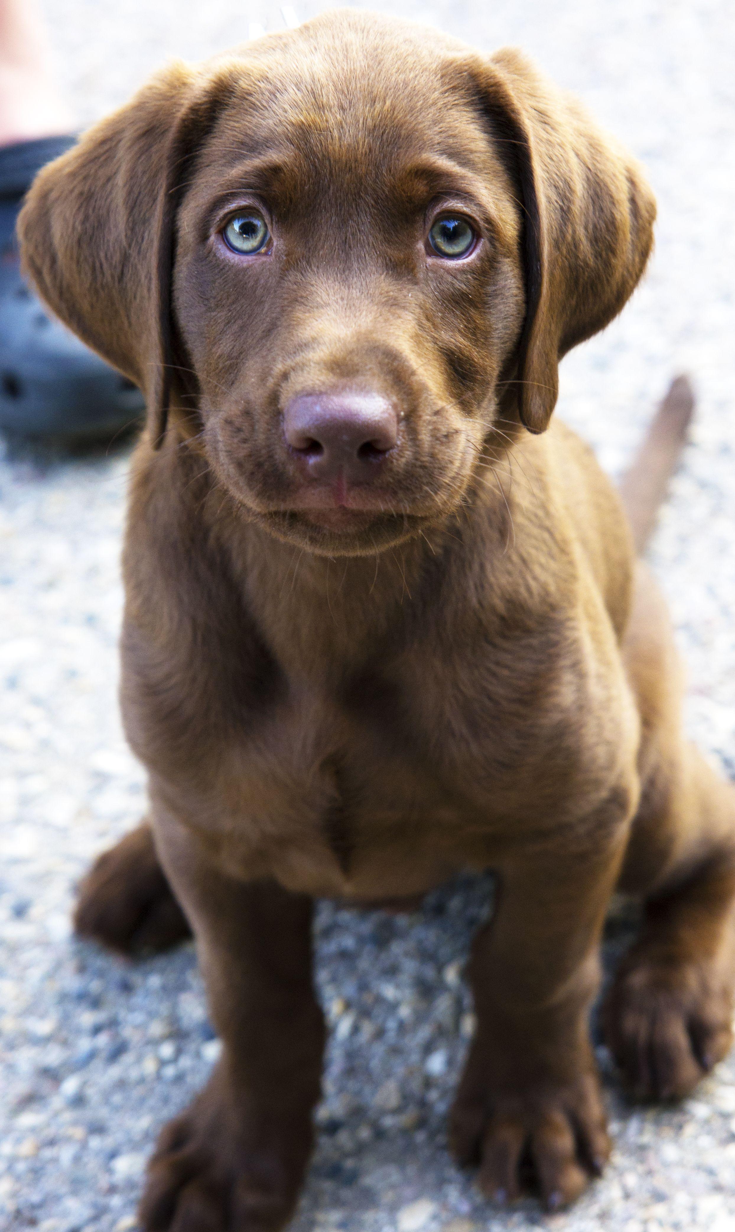 Chocolate lab puppy.   labrador dog   Pinterest   Chocolate lab ...