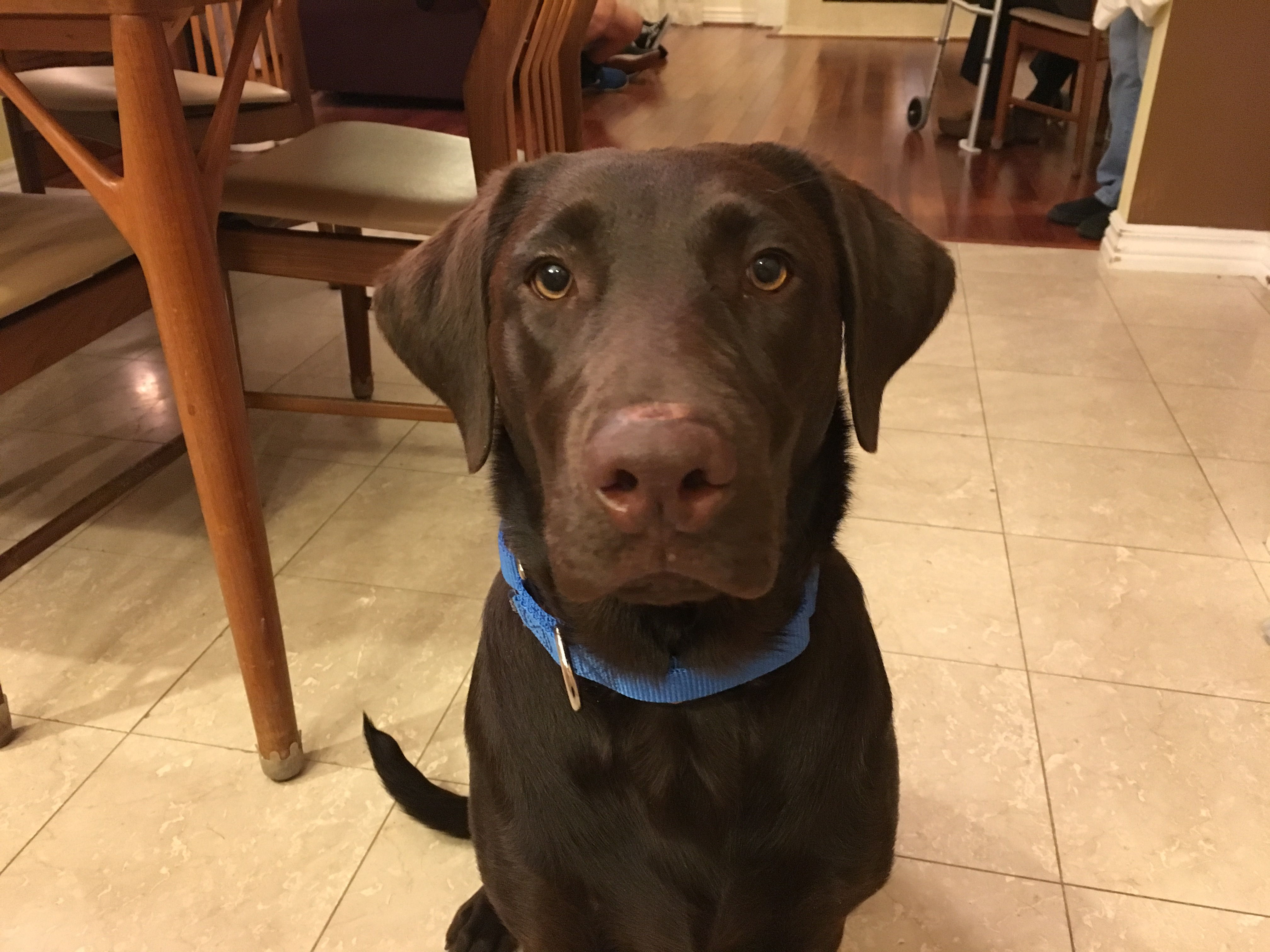 Helping an Anxious Chocolate Lab Puppy Get Over Her Fear of ...