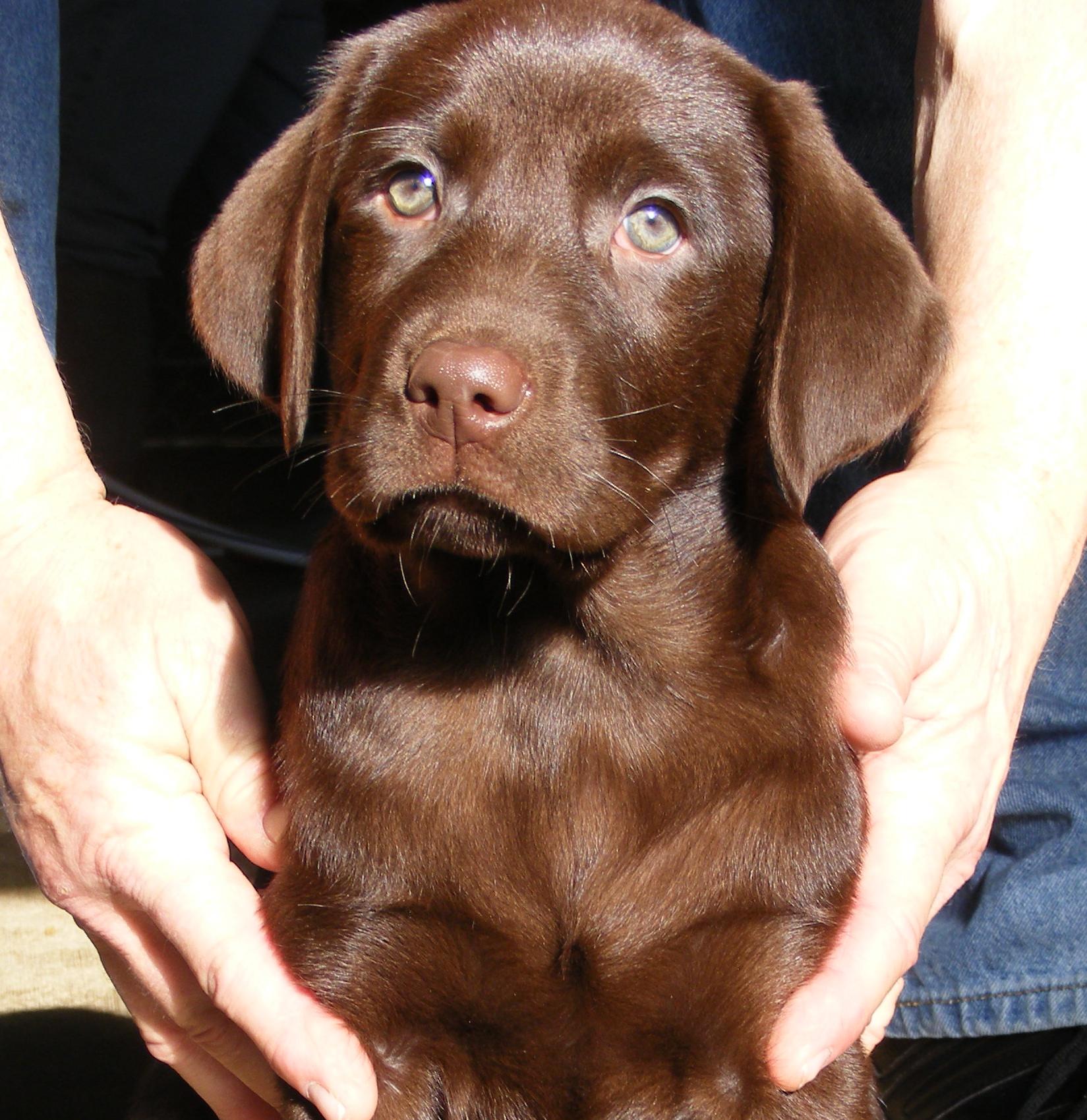 Wisconsin Labradors - Labrador Retriever -Chocolate Lab Puppies