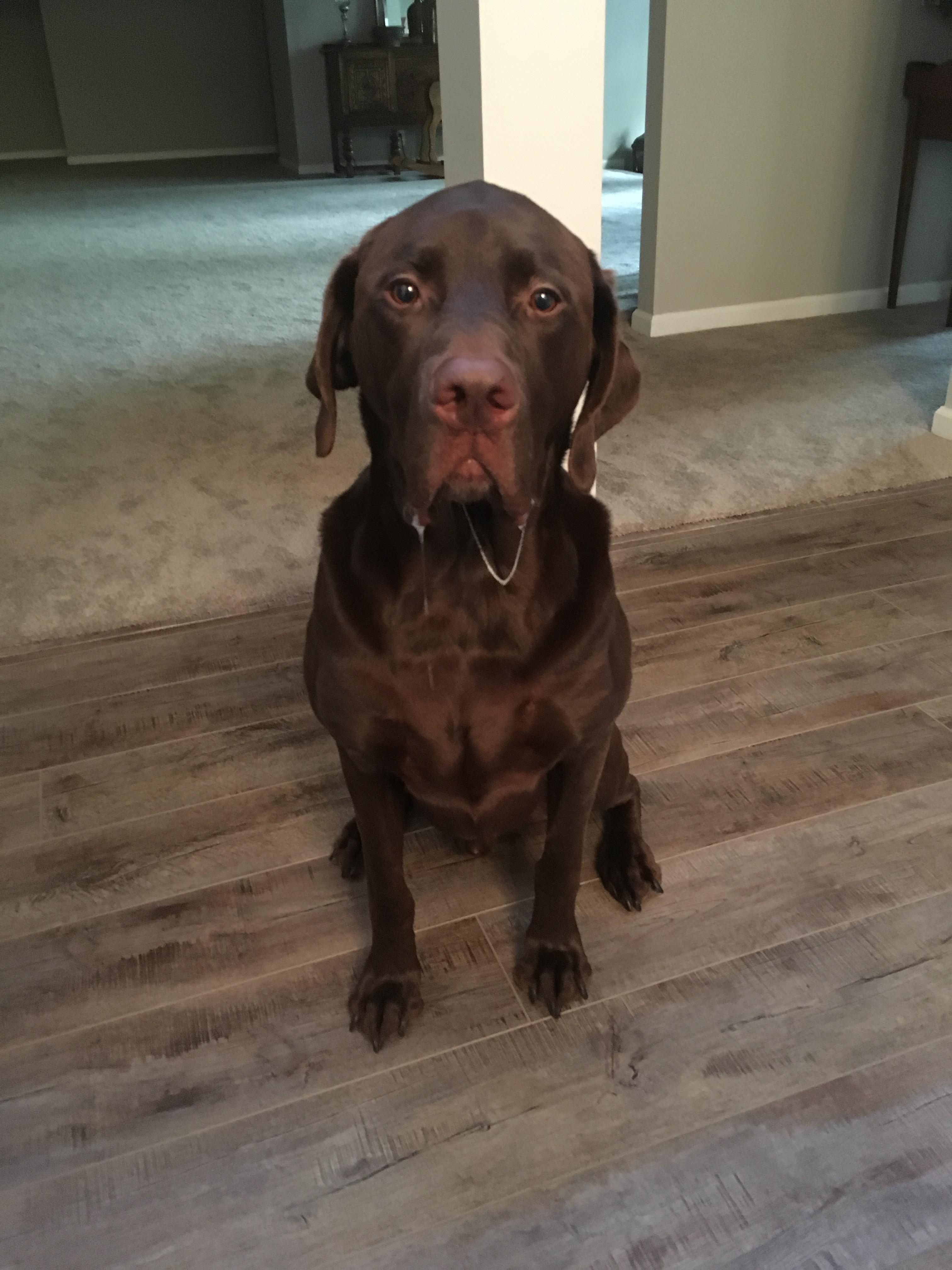 All my mom wanted was a cute picture of her chocolate lab.. - Album ...