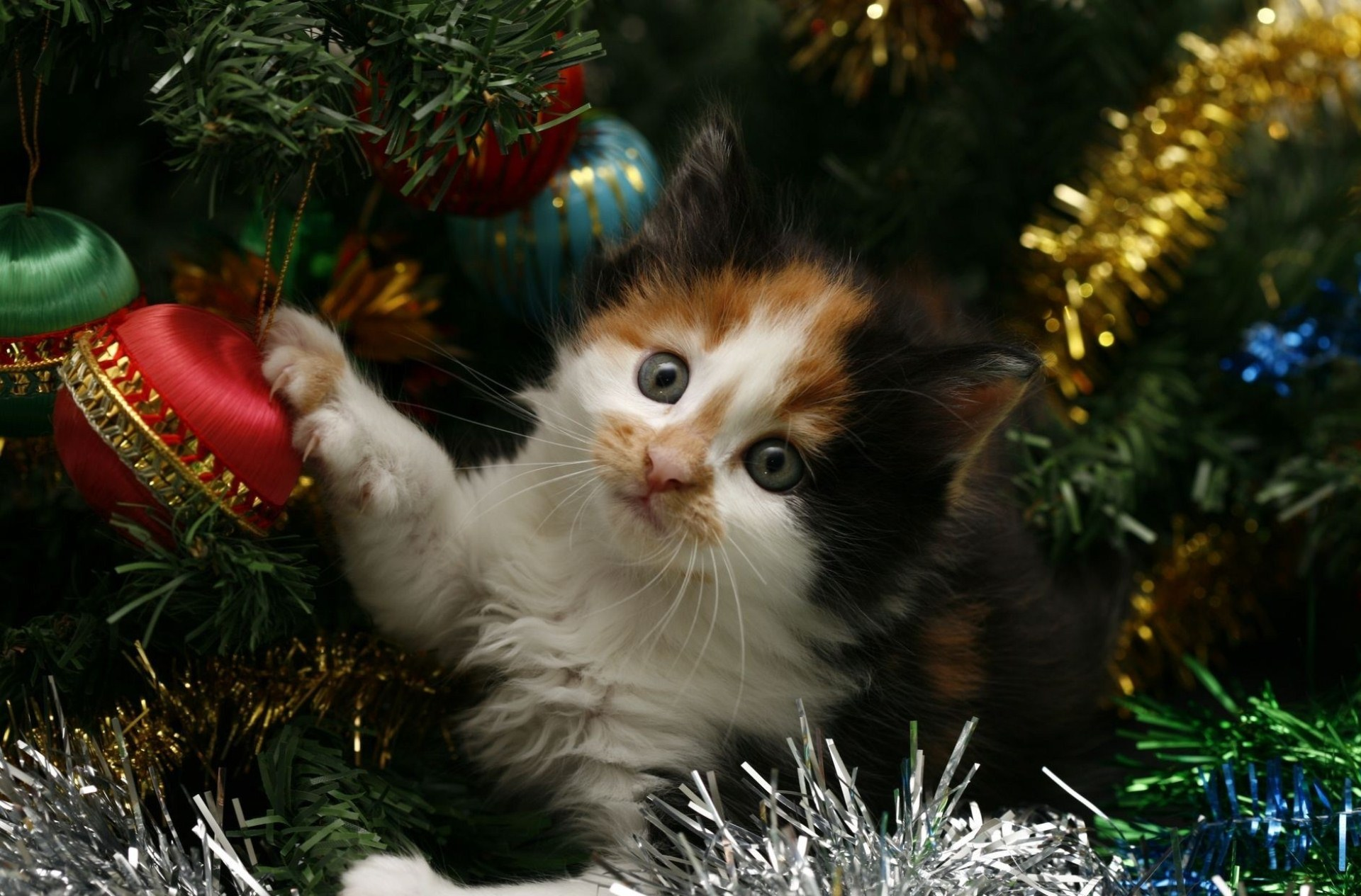 Kitten in christmas photo
