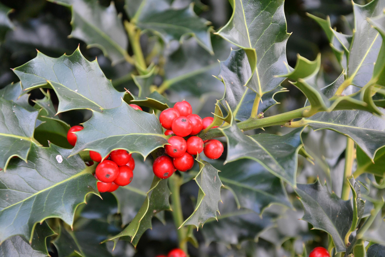 Christmas holly, Aquifolium, Shrub, Leaves, Plant, HQ Photo