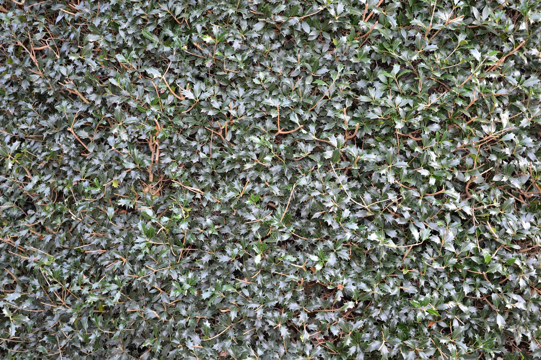 Christmas holly background, Aquifolium, Shrubes, Plant, Plants, HQ Photo