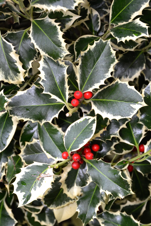 Christmas holly variegated, Aquifolium, Shrubes, Plant, Plants, HQ Photo